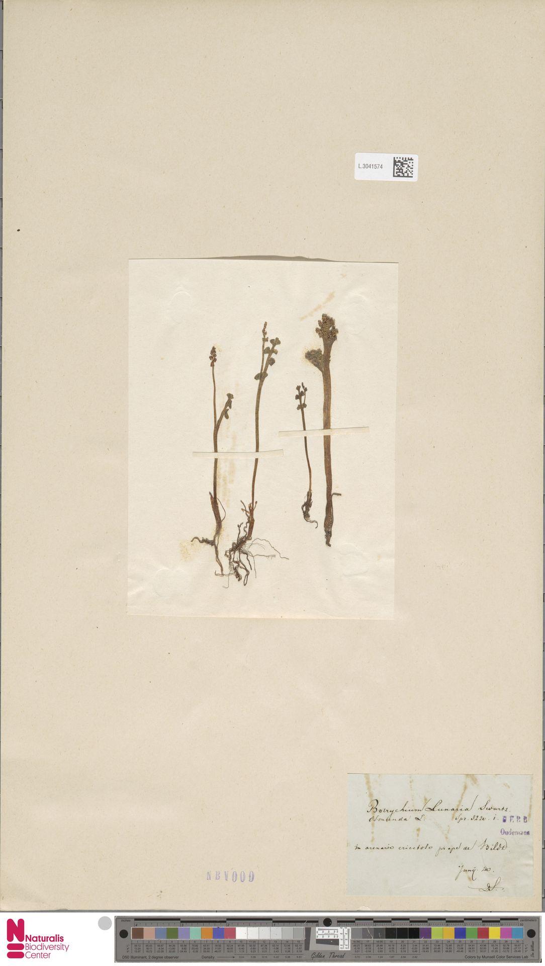 L.3041574 | Botrychium lunaria (L.) Sw.