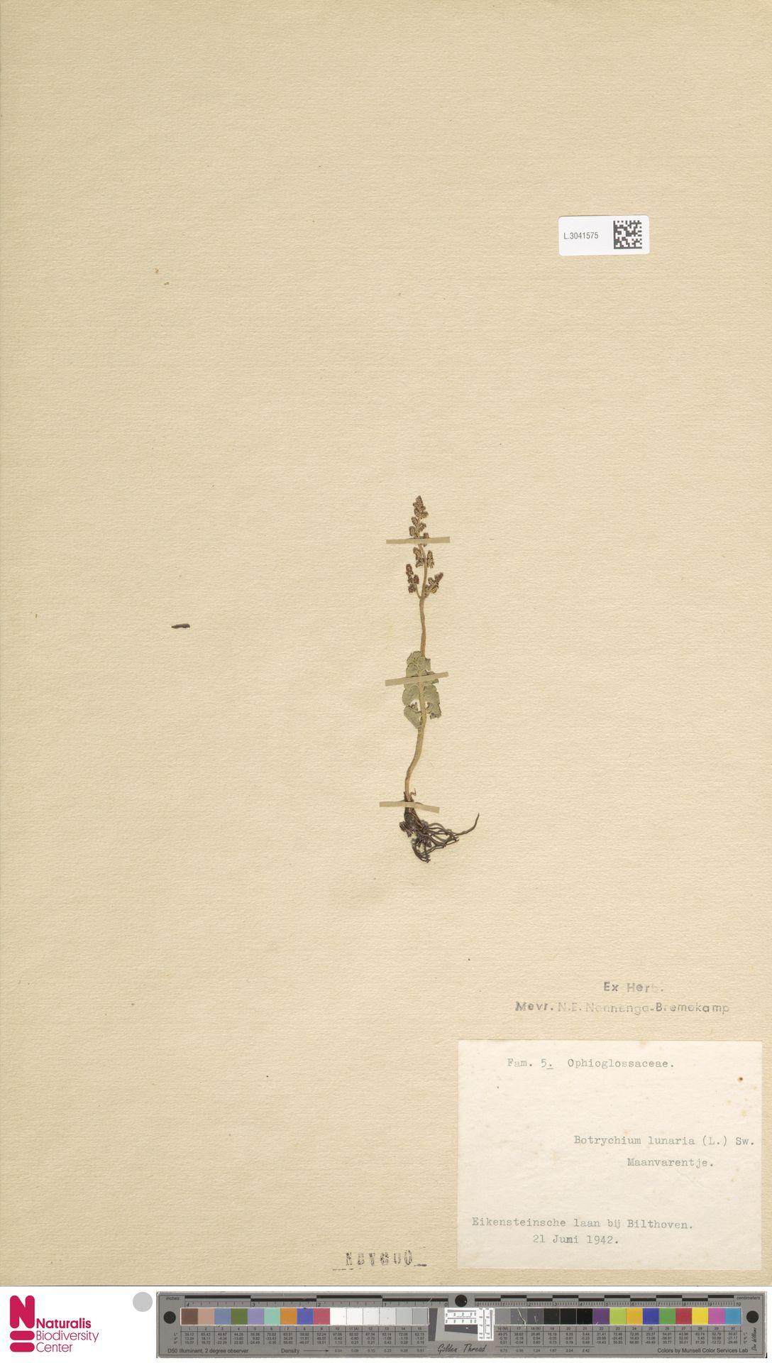 L.3041575 | Botrychium lunaria (L.) Sw.