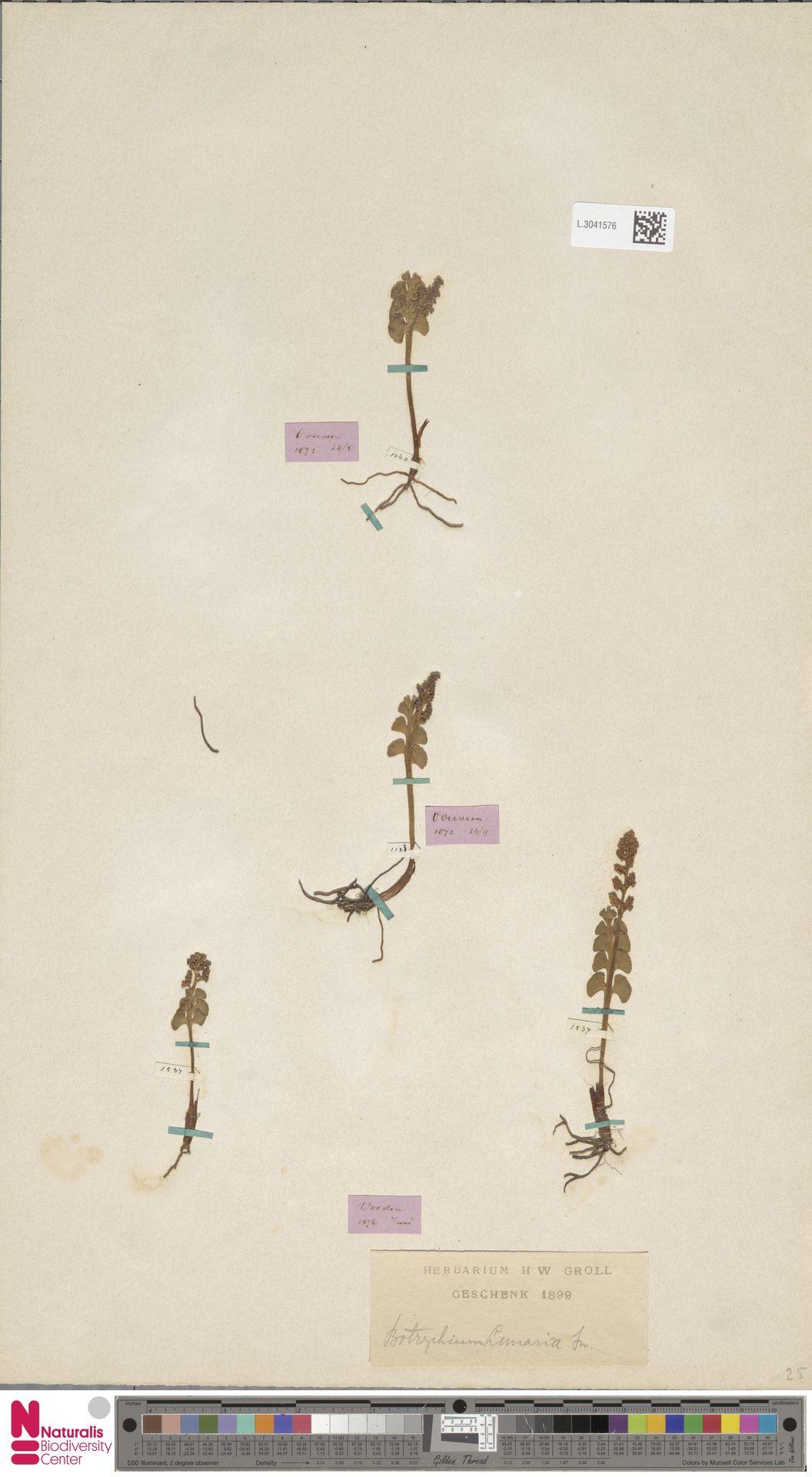 L.3041576 | Botrychium lunaria (L.) Sw.