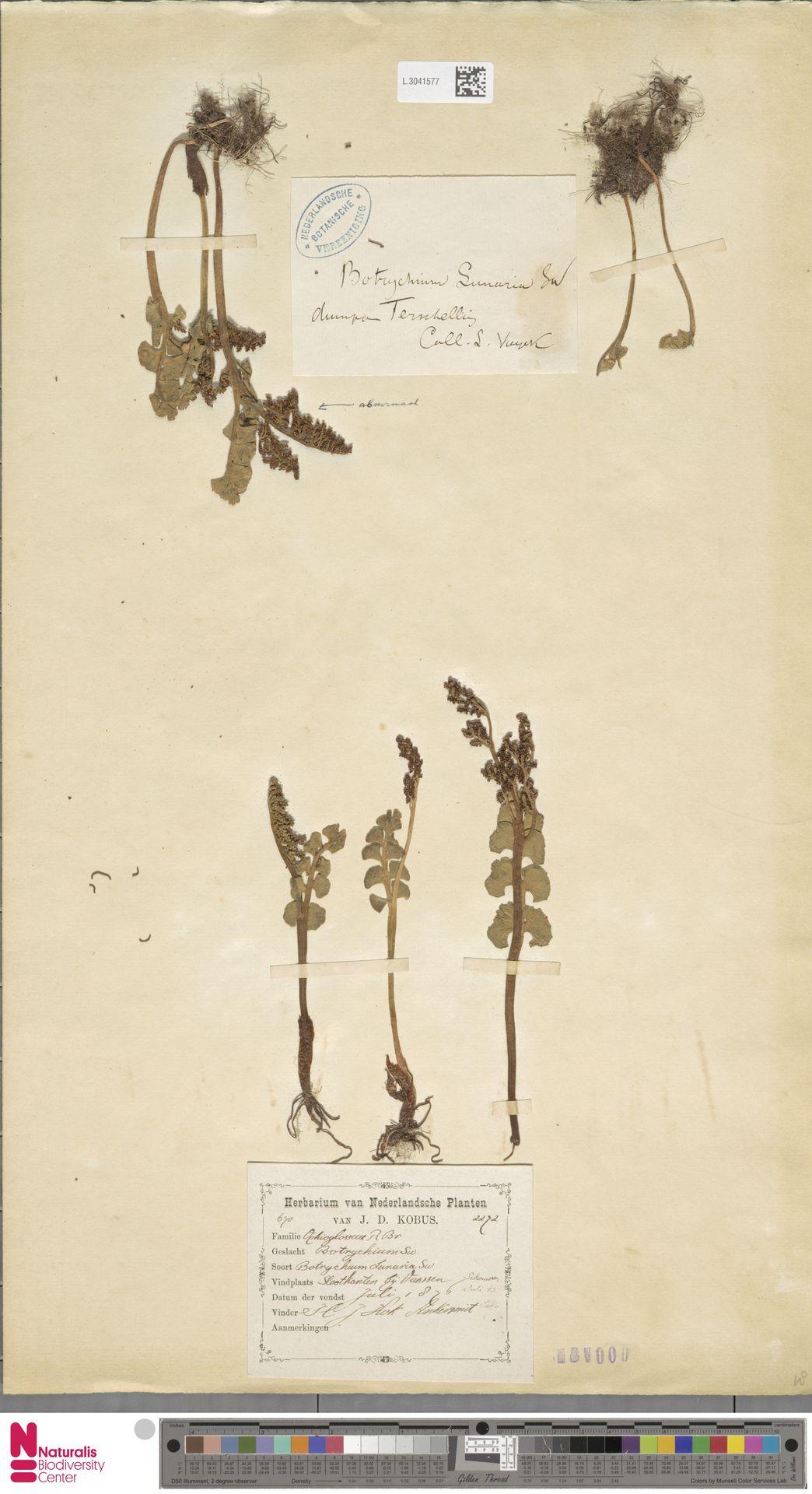 L.3041577   Botrychium lunaria (L.) Sw.