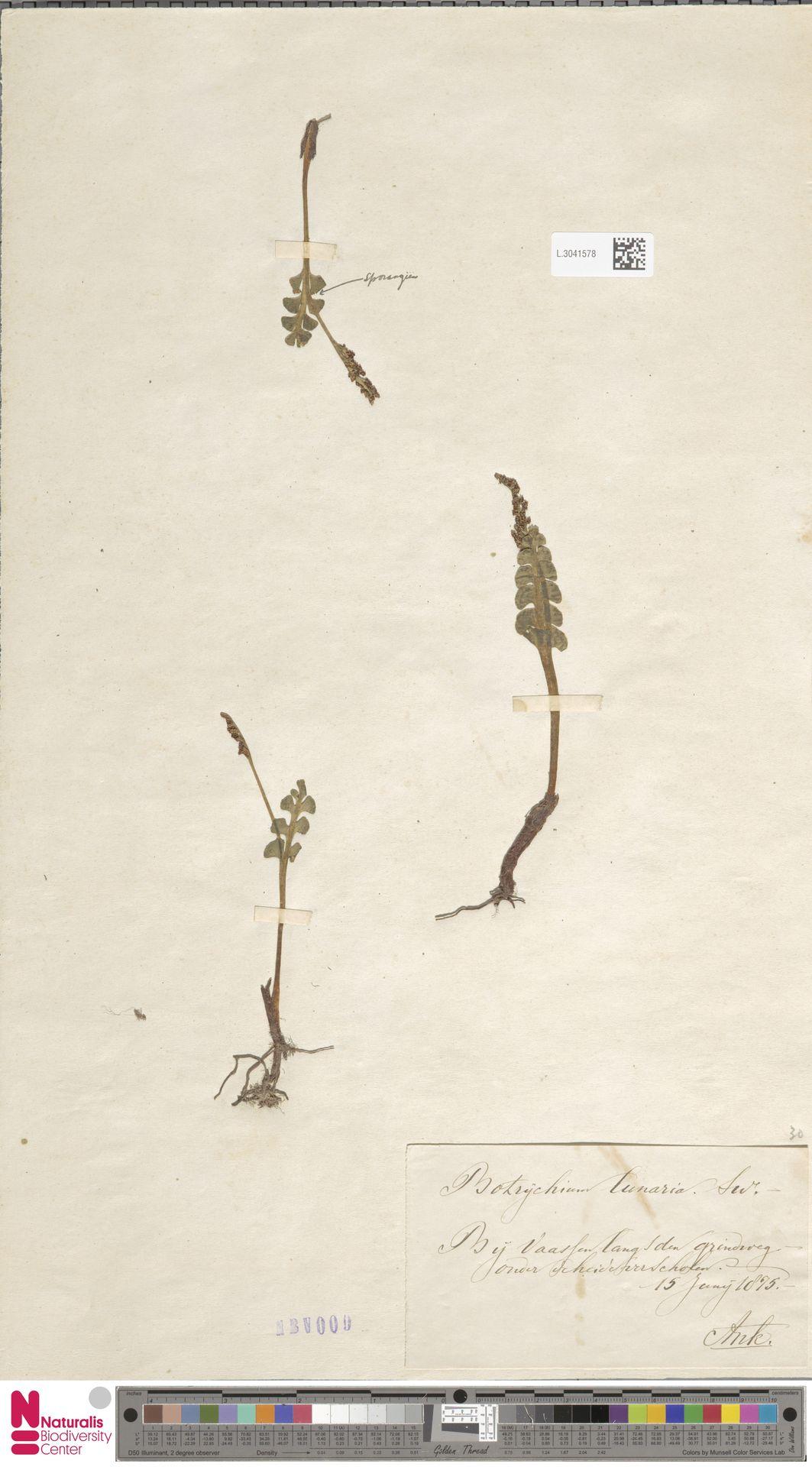 L.3041578 | Botrychium lunaria (L.) Sw.