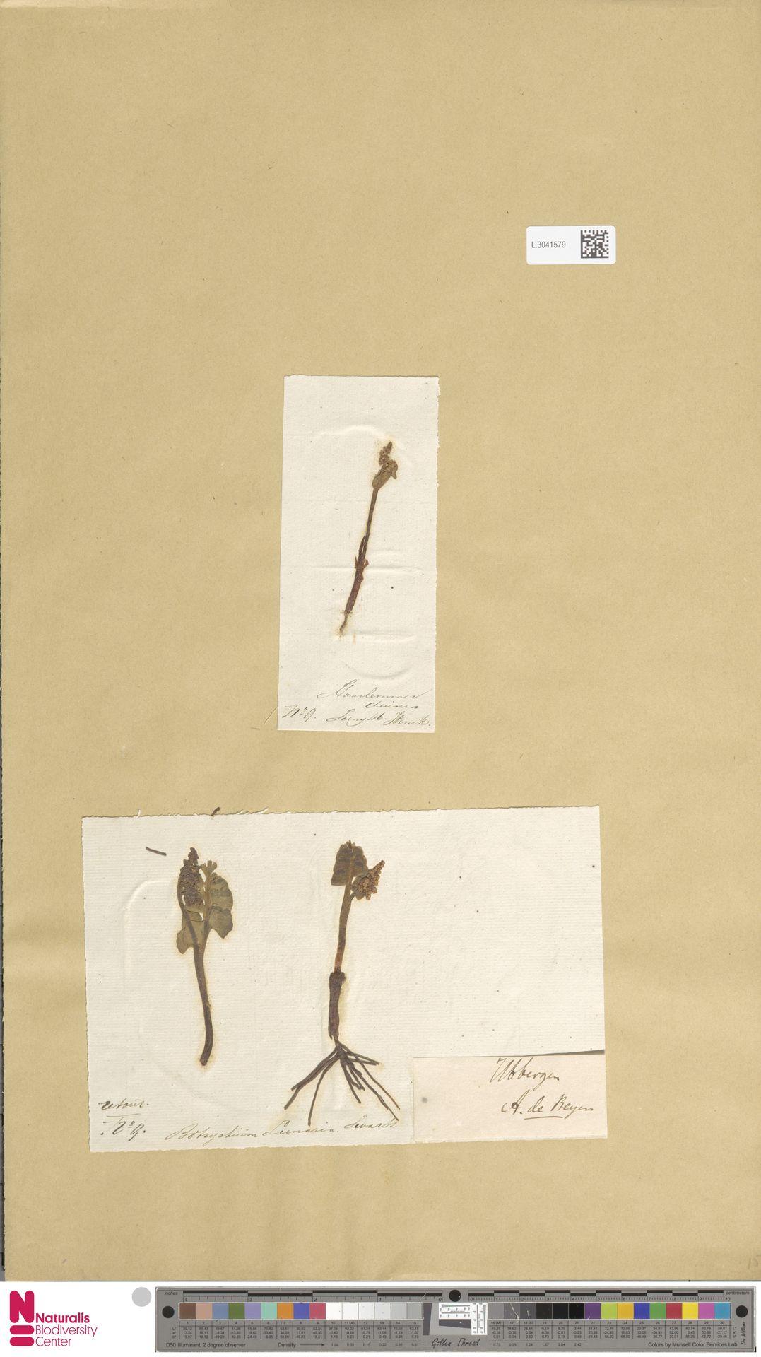 L.3041579   Botrychium lunaria (L.) Sw.