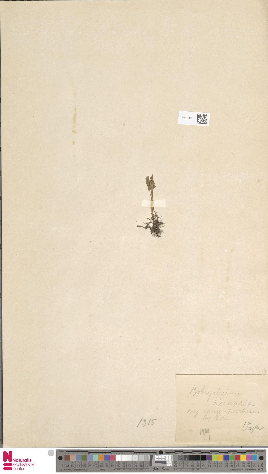 L.3041580 | Botrychium lunaria (L.) Sw.