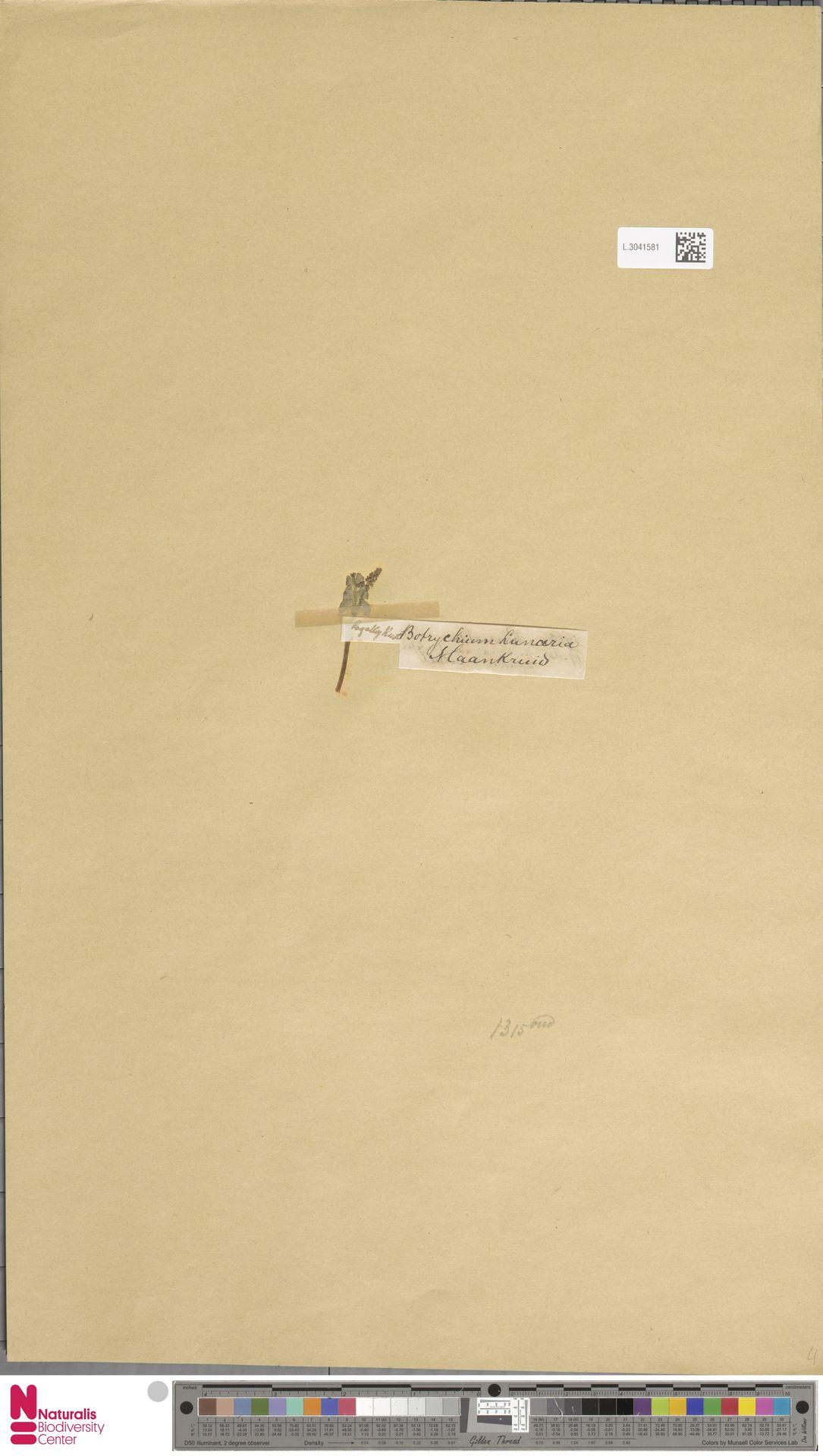 L.3041581 | Botrychium lunaria (L.) Sw.