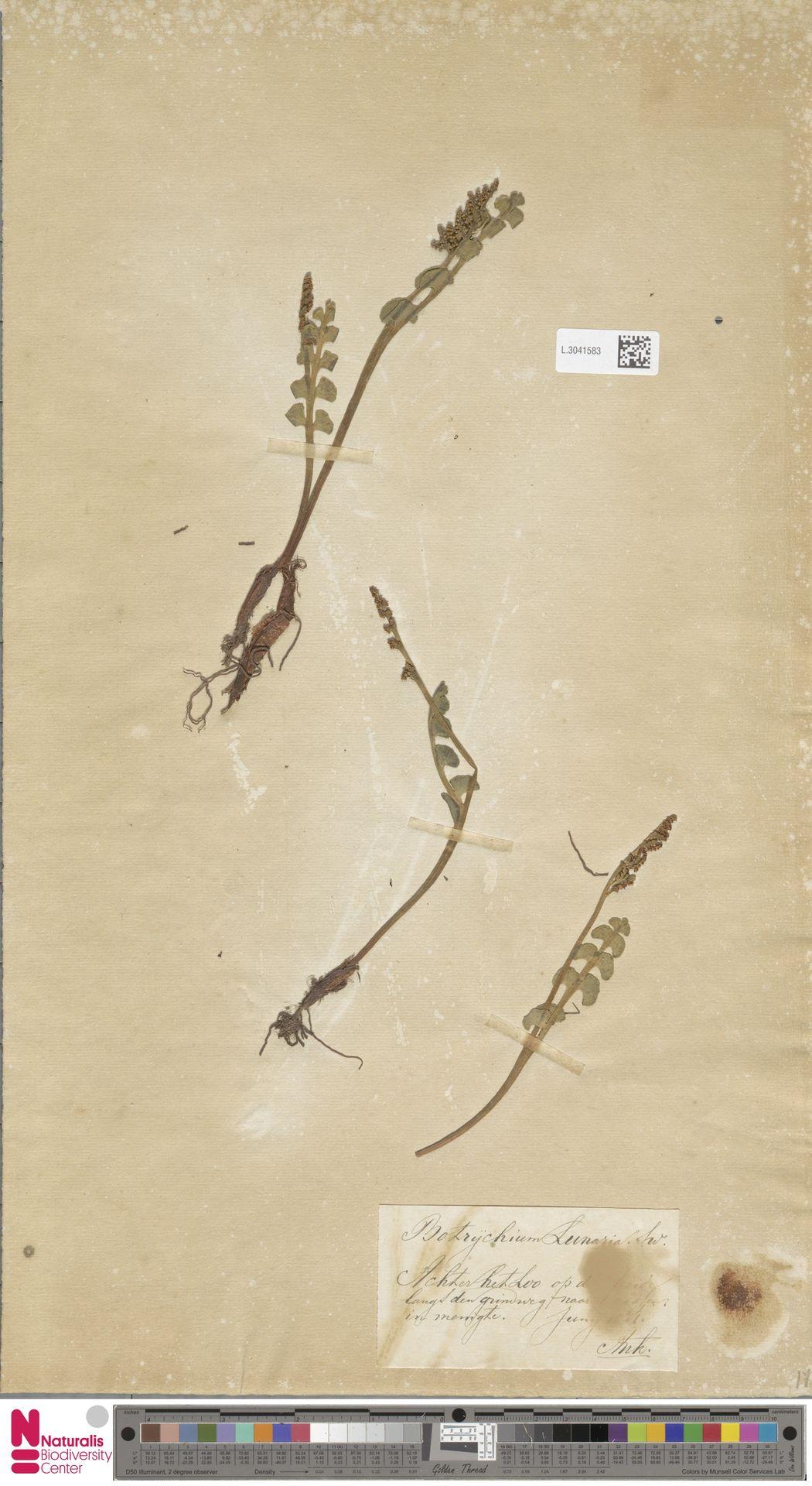 L.3041583 | Botrychium lunaria (L.) Sw.
