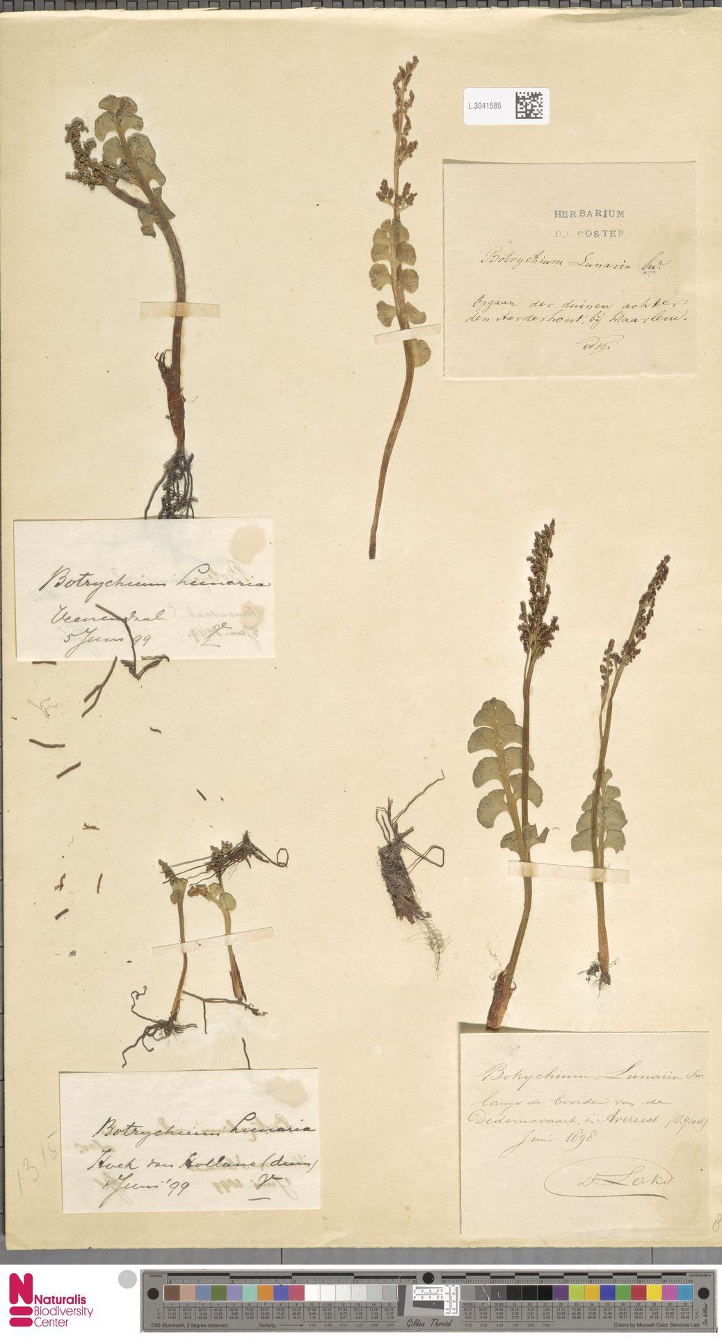 L.3041585 | Botrychium lunaria (L.) Sw.
