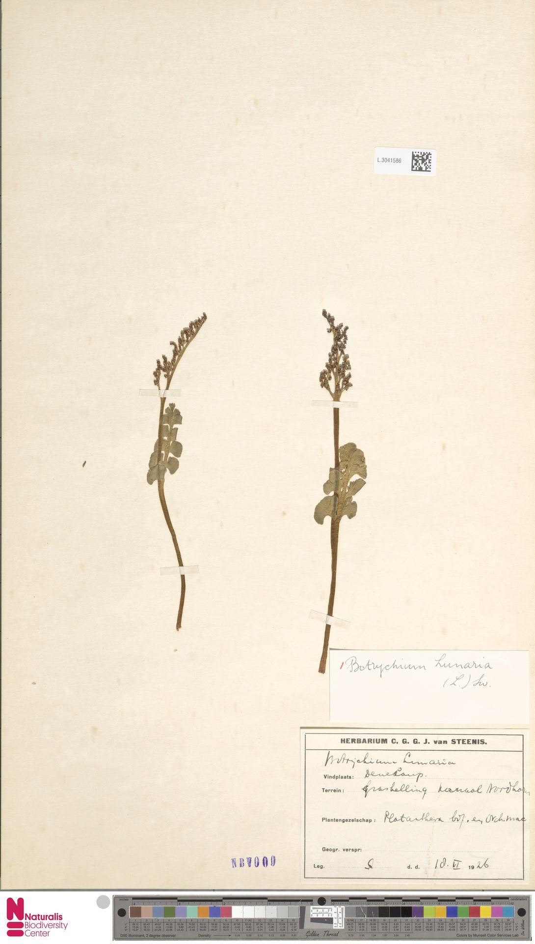 L.3041586   Botrychium lunaria (L.) Sw.