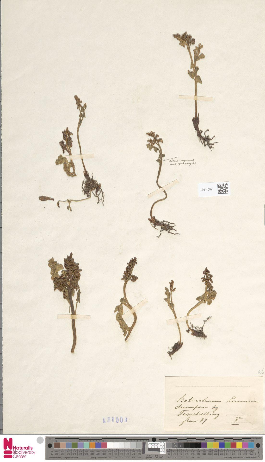 L.3041589   Botrychium lunaria (L.) Sw.
