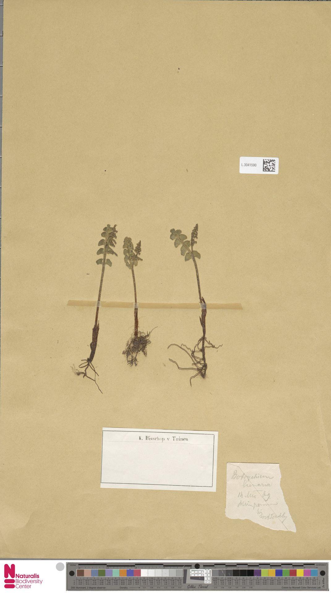 L.3041590 | Botrychium lunaria (L.) Sw.