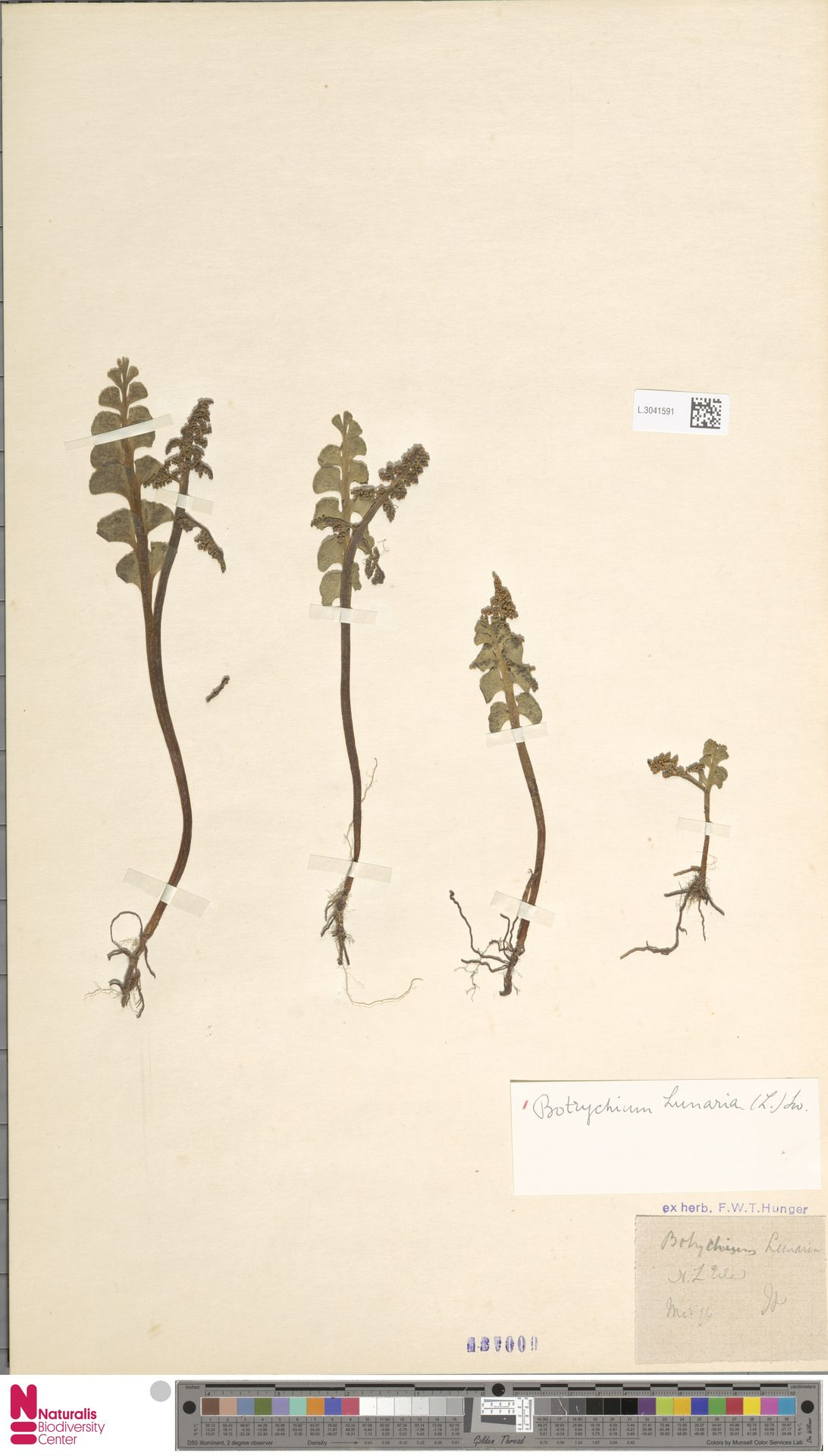 L.3041591 | Botrychium lunaria (L.) Sw.