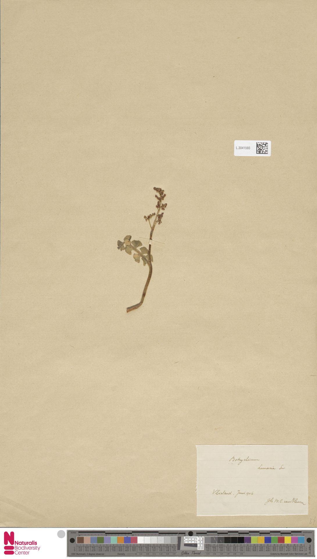 L.3041593 | Botrychium lunaria (L.) Sw.