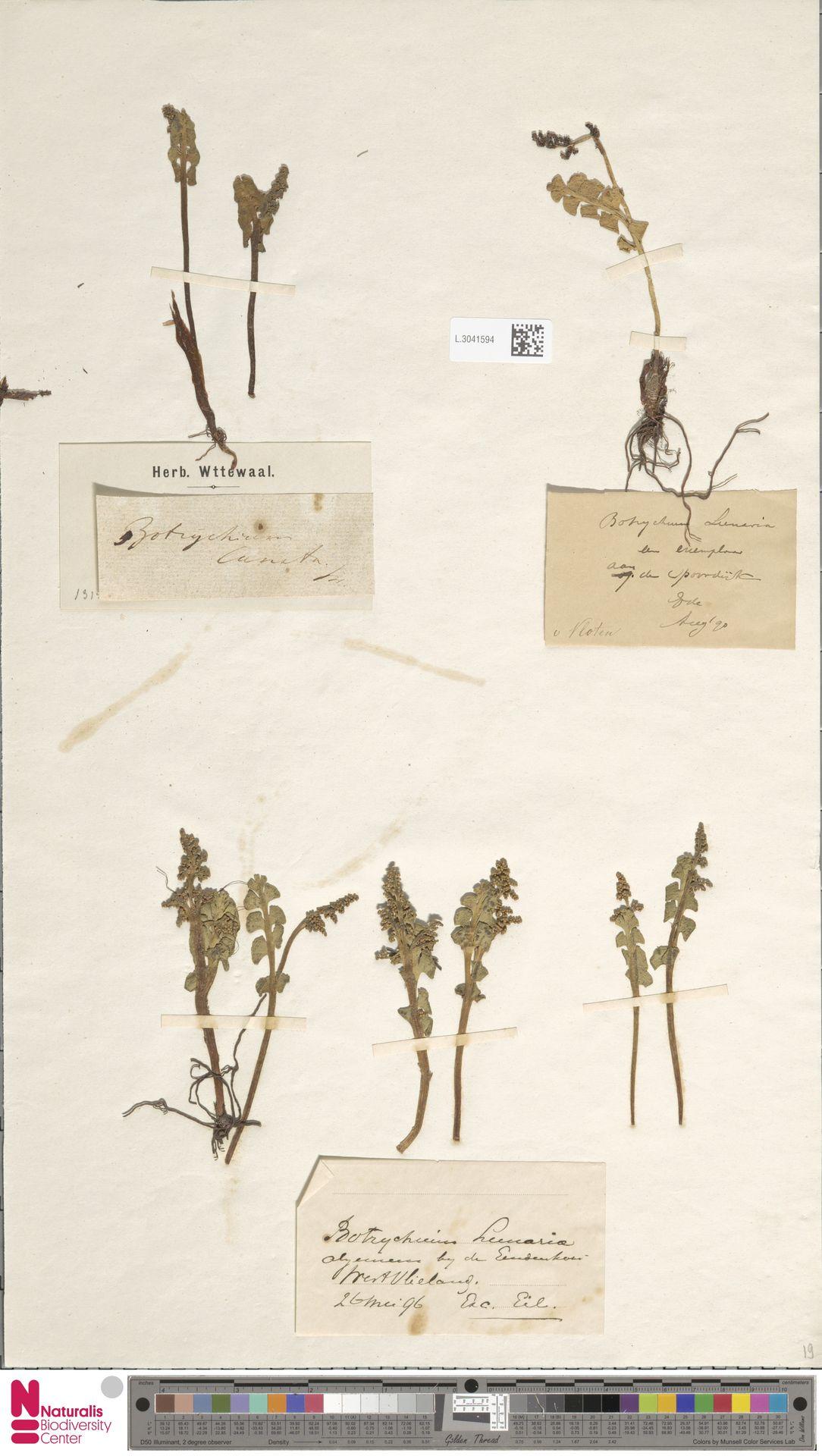 L.3041594 | Botrychium lunaria (L.) Sw.
