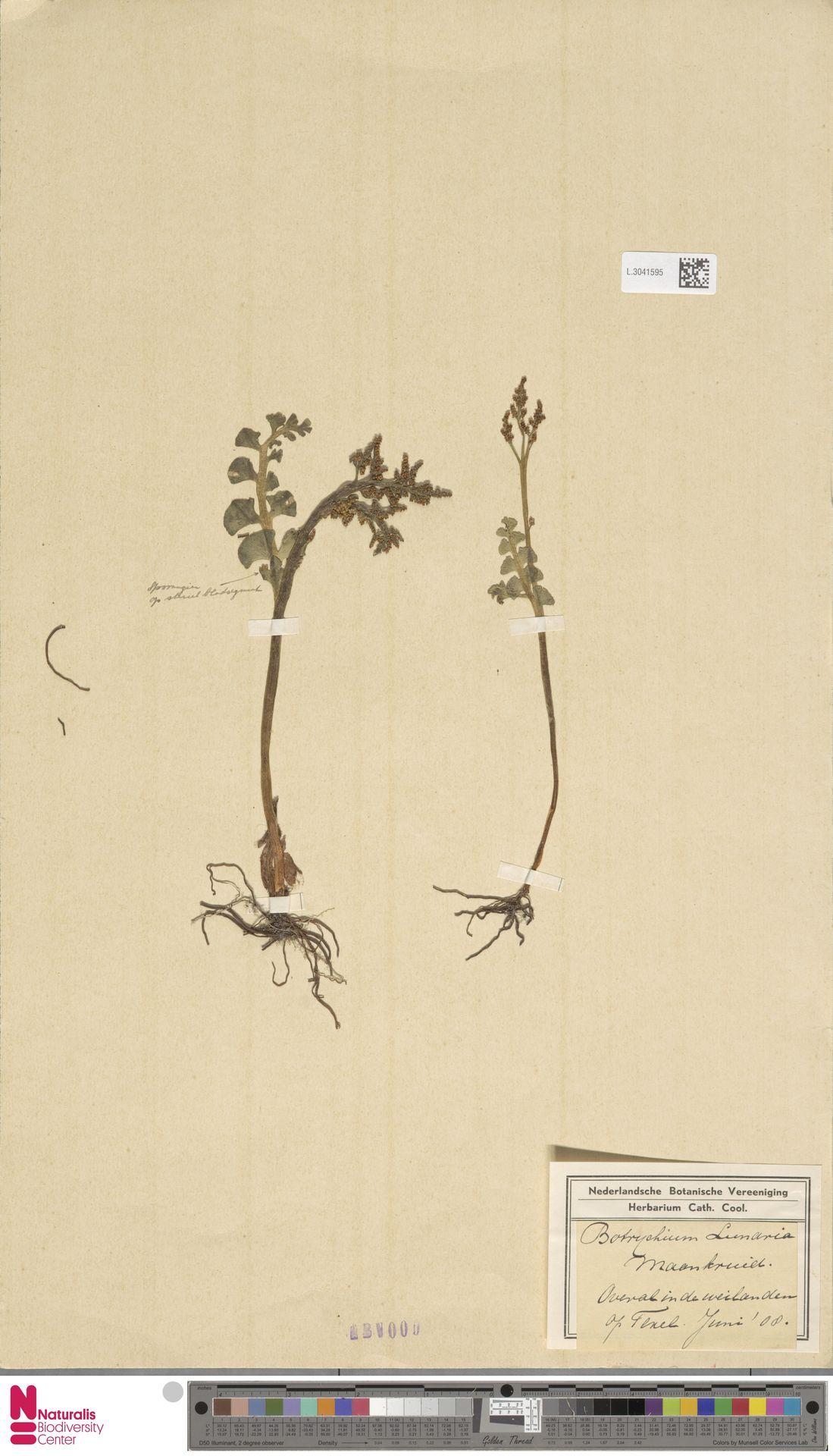 L.3041595 | Botrychium lunaria (L.) Sw.