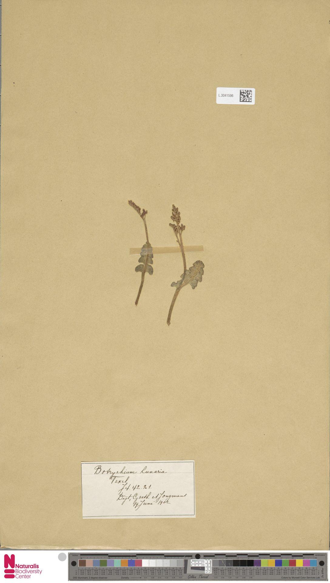 L.3041596 | Botrychium lunaria (L.) Sw.