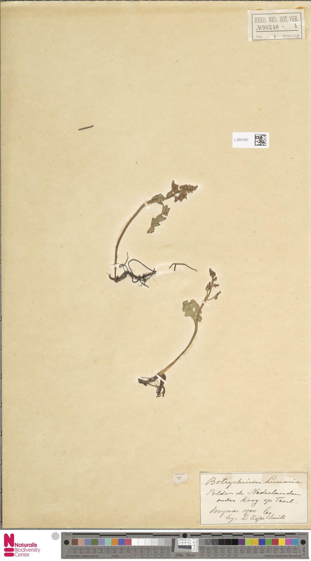 L.3041597 | Botrychium lunaria (L.) Sw.