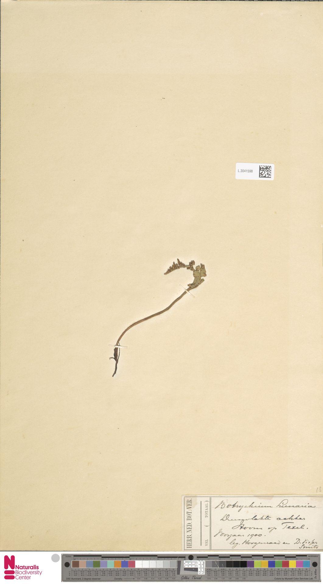 L.3041598 | Botrychium lunaria (L.) Sw.
