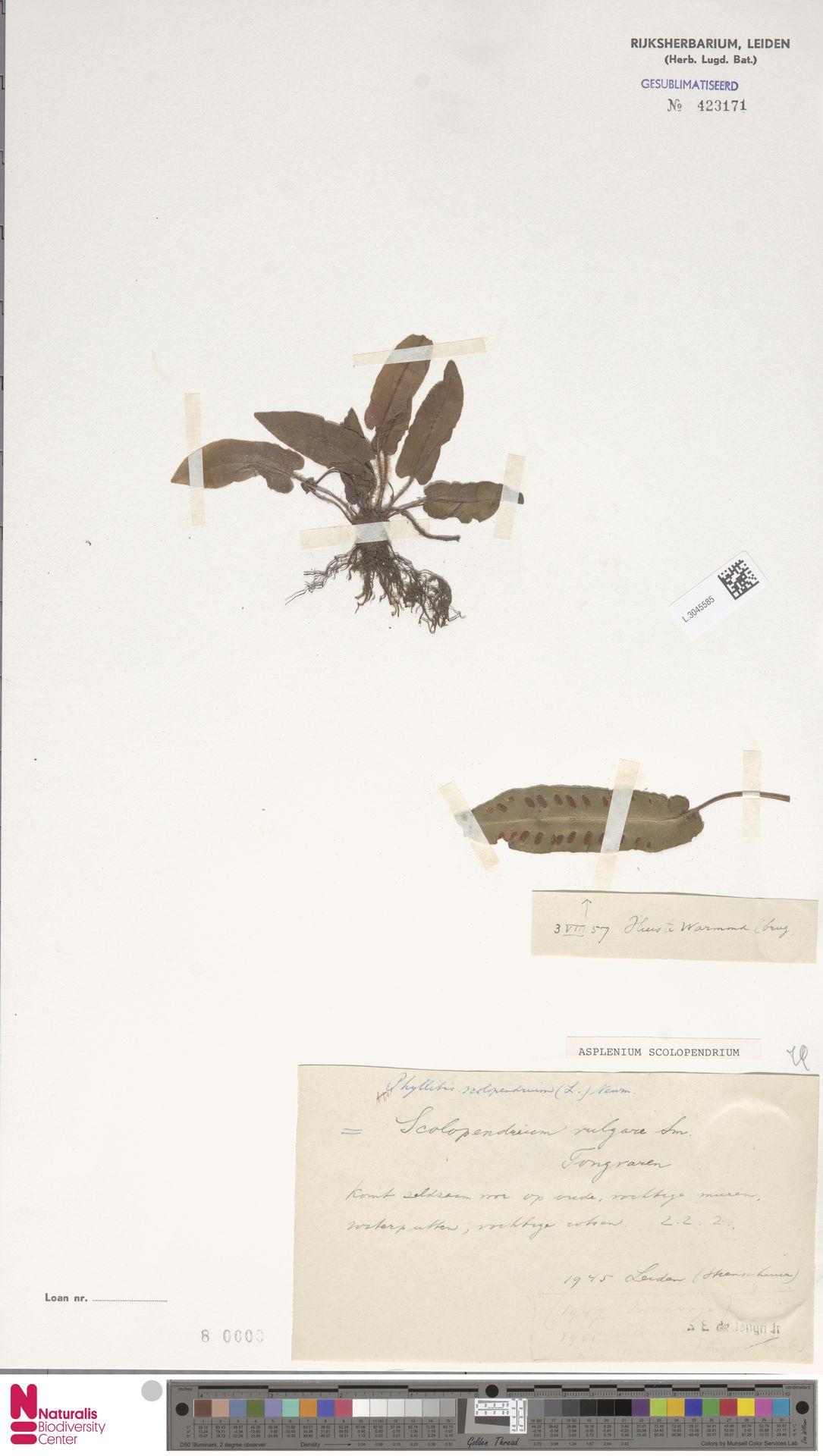 L.3045585 | Asplenium scolopendrium L.
