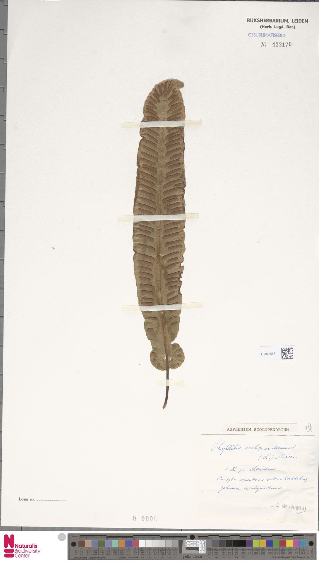 L.3045586   Asplenium scolopendrium L.