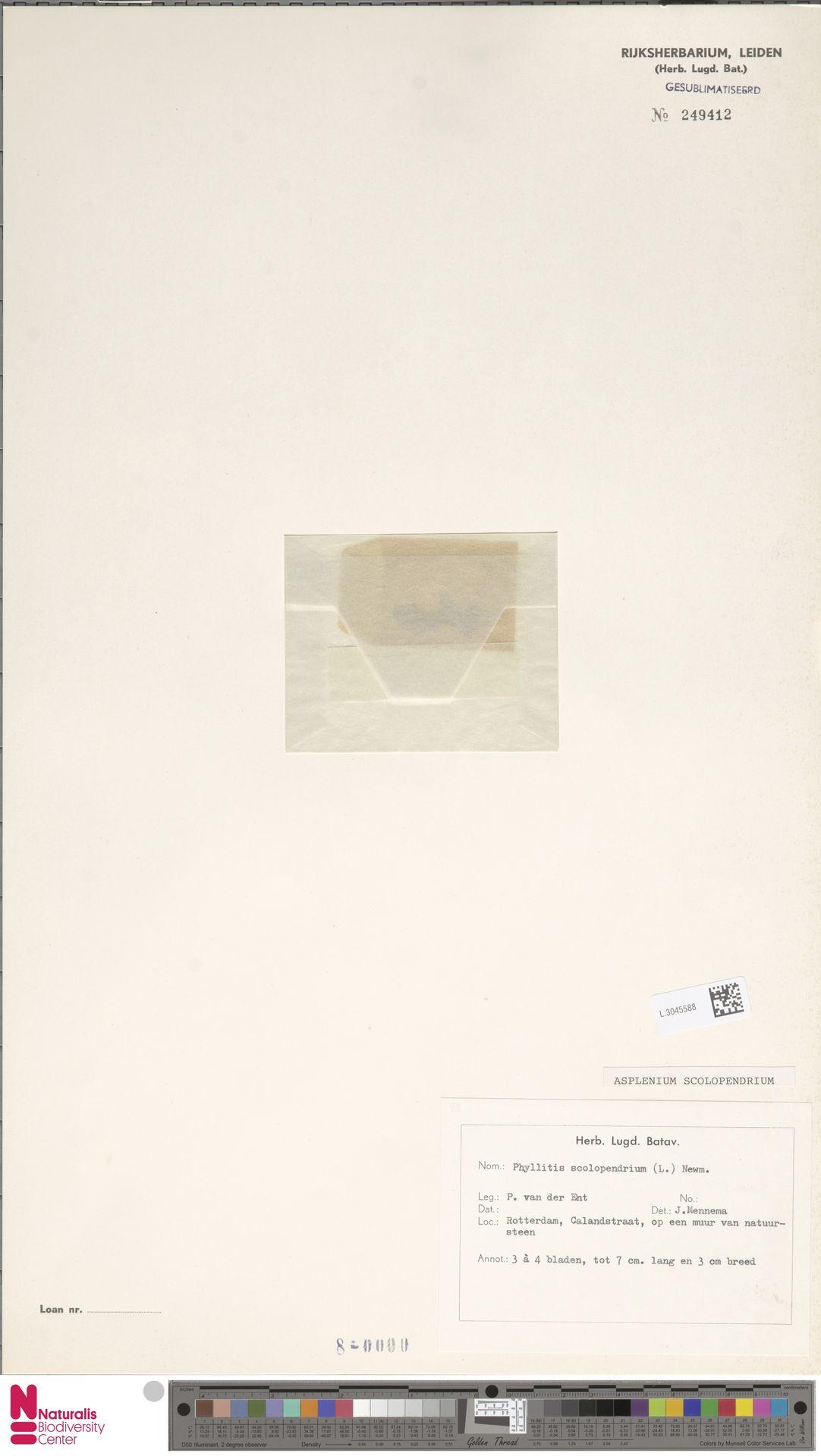 L.3045588 | Asplenium scolopendrium L.