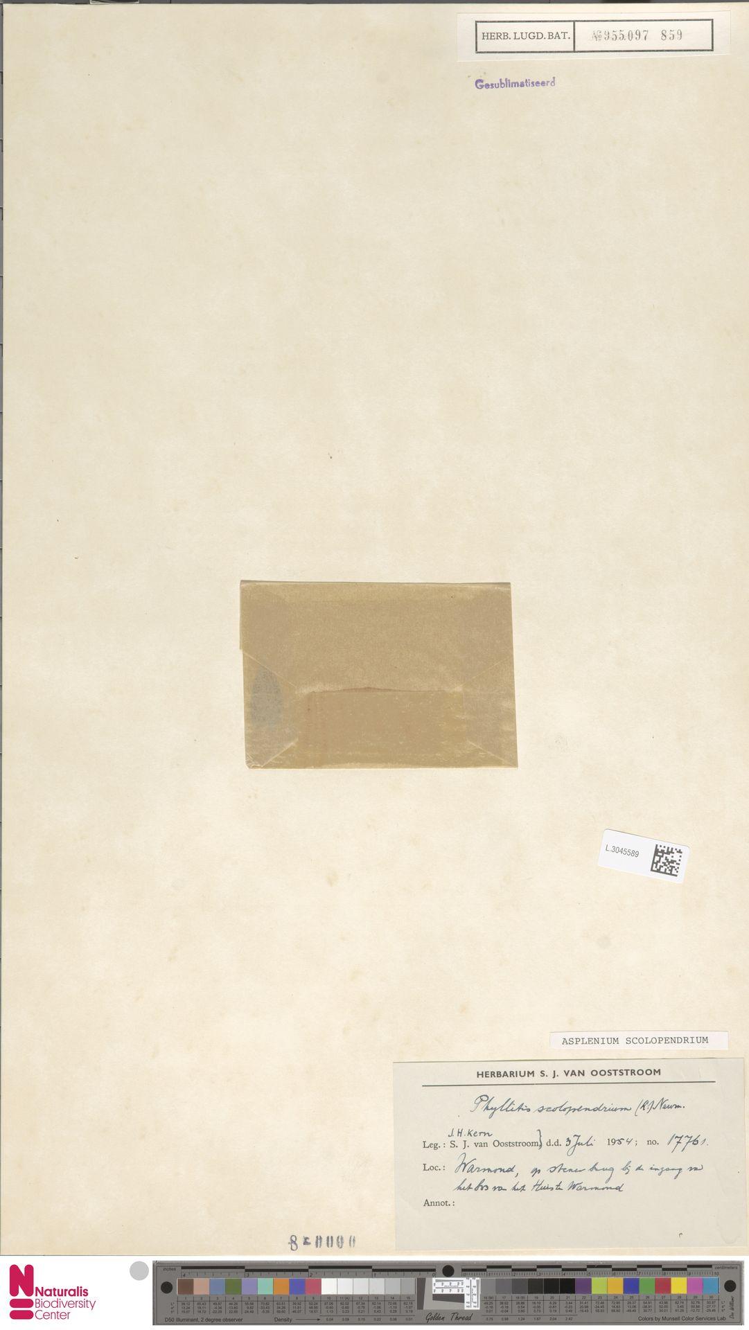 L.3045589 | Asplenium scolopendrium L.