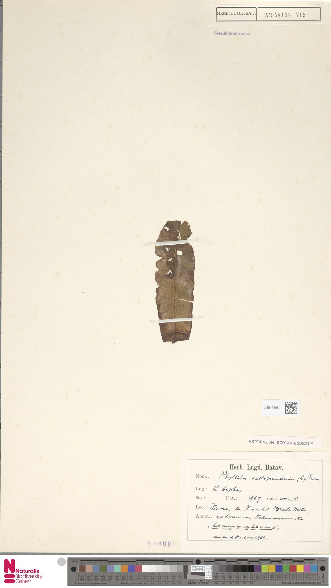 L.3045595 | Asplenium scolopendrium L.