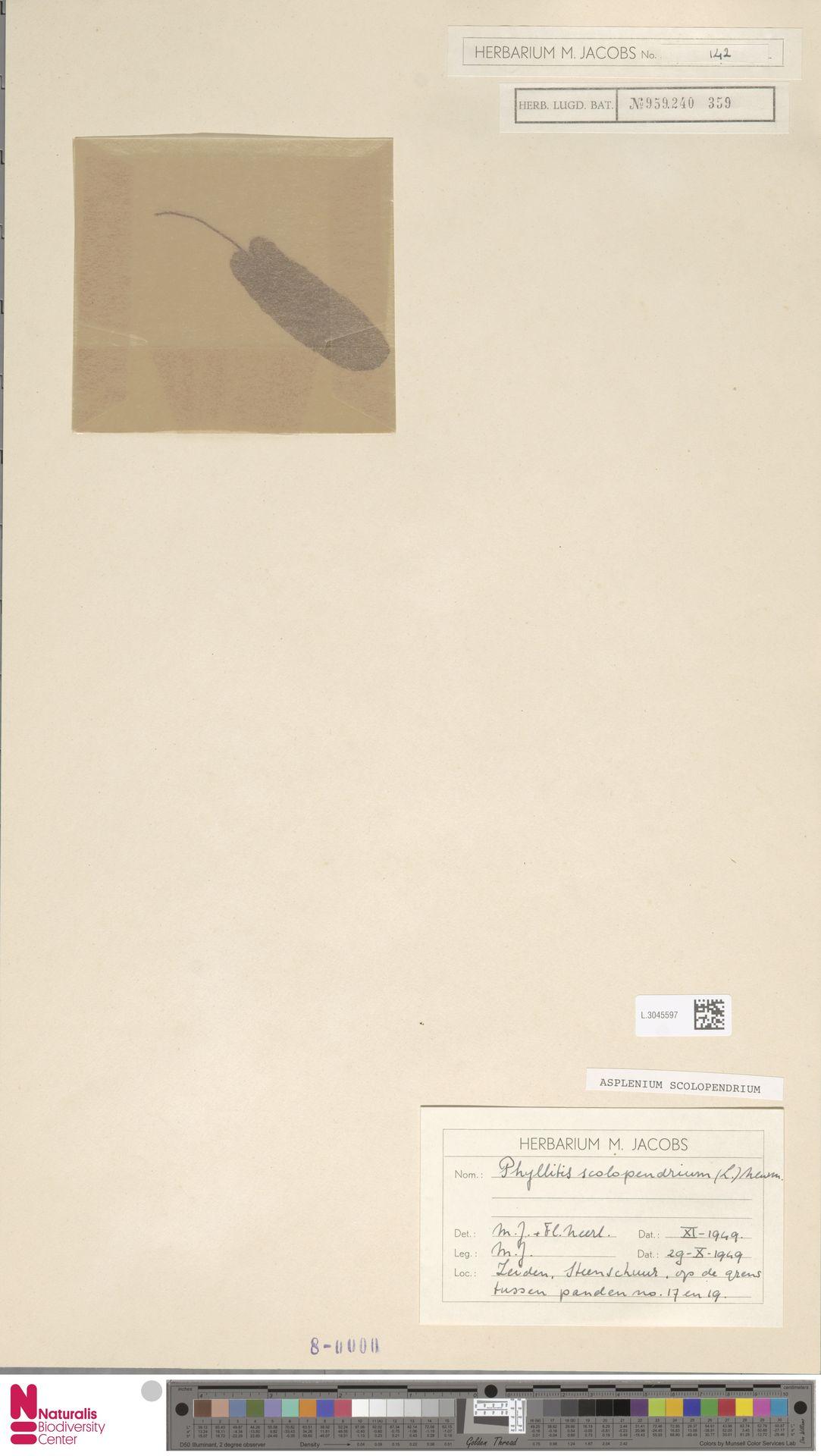 L.3045597 | Asplenium scolopendrium L.