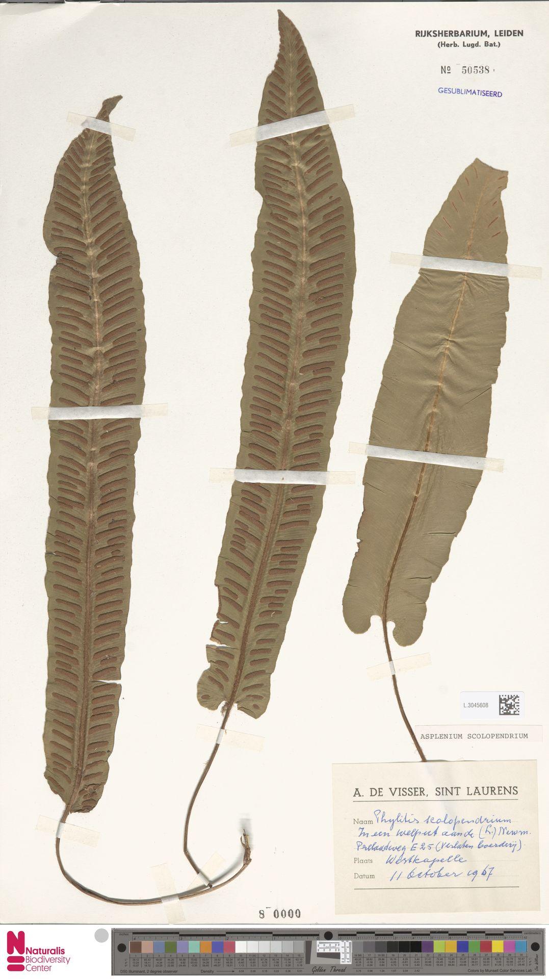 L.3045608 | Asplenium scolopendrium L.