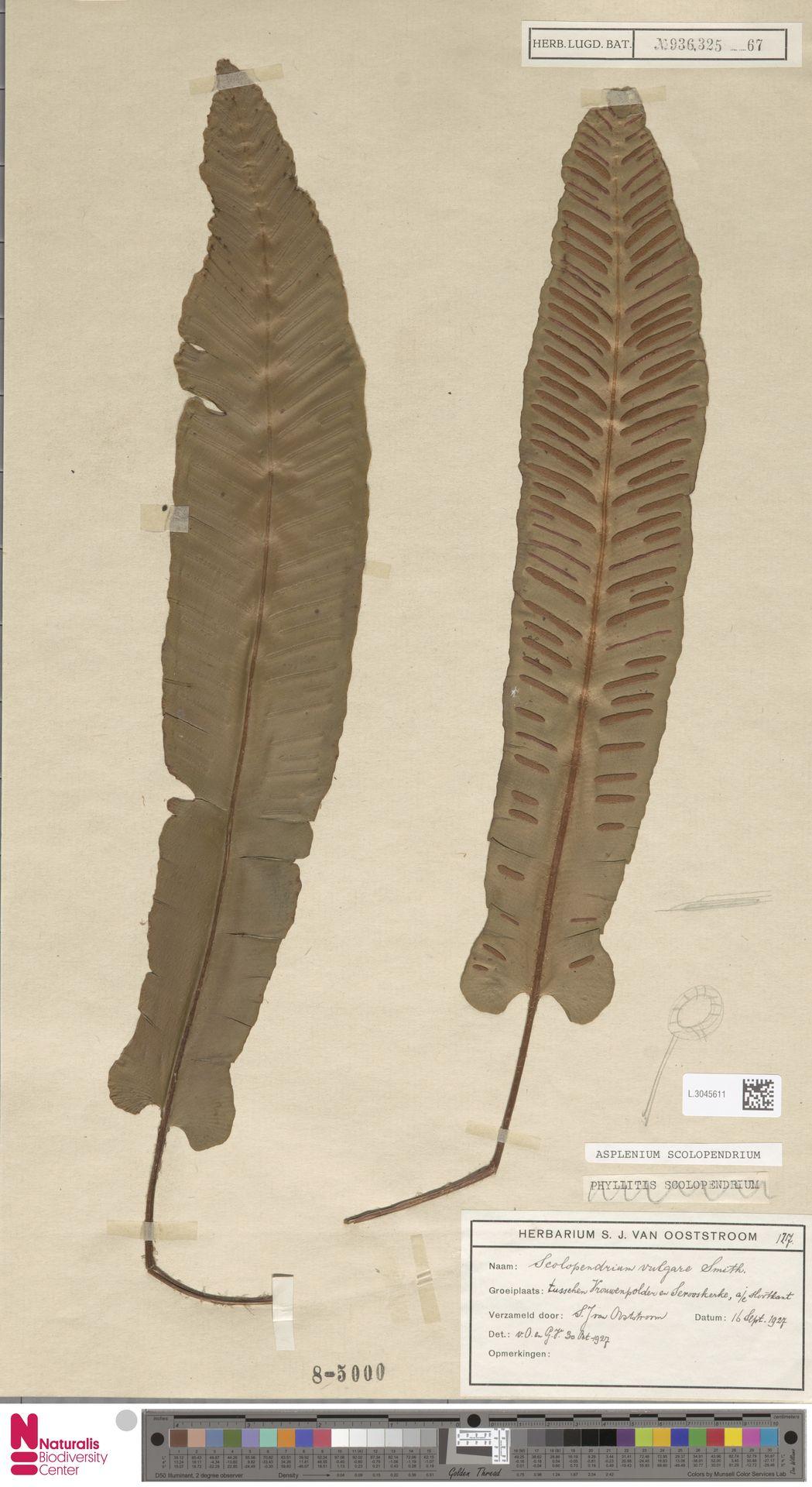 L.3045611 | Asplenium scolopendrium L.