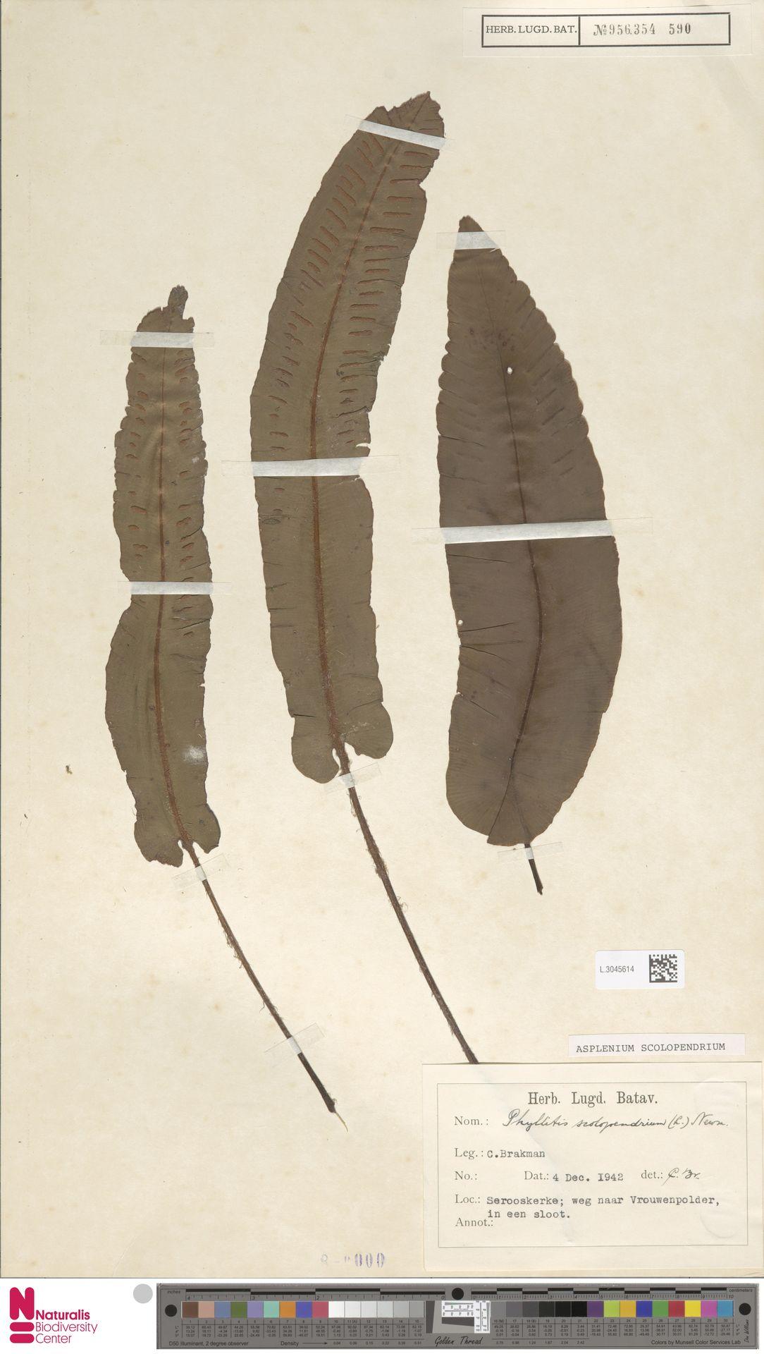 L.3045614 | Asplenium scolopendrium L.