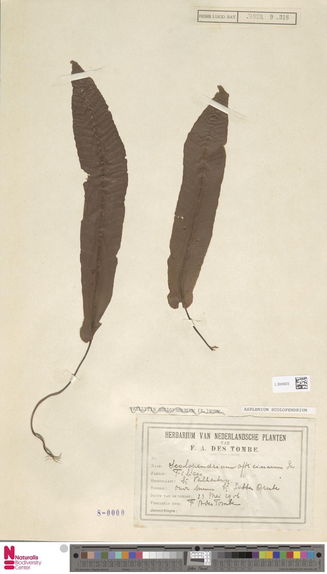 L.3045623 | Asplenium scolopendrium L.