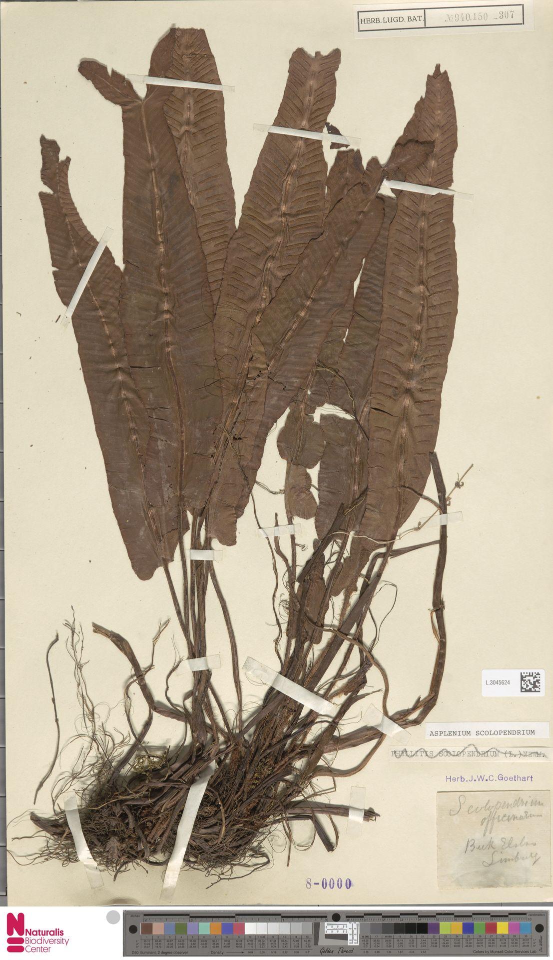 L.3045624 | Asplenium scolopendrium L.