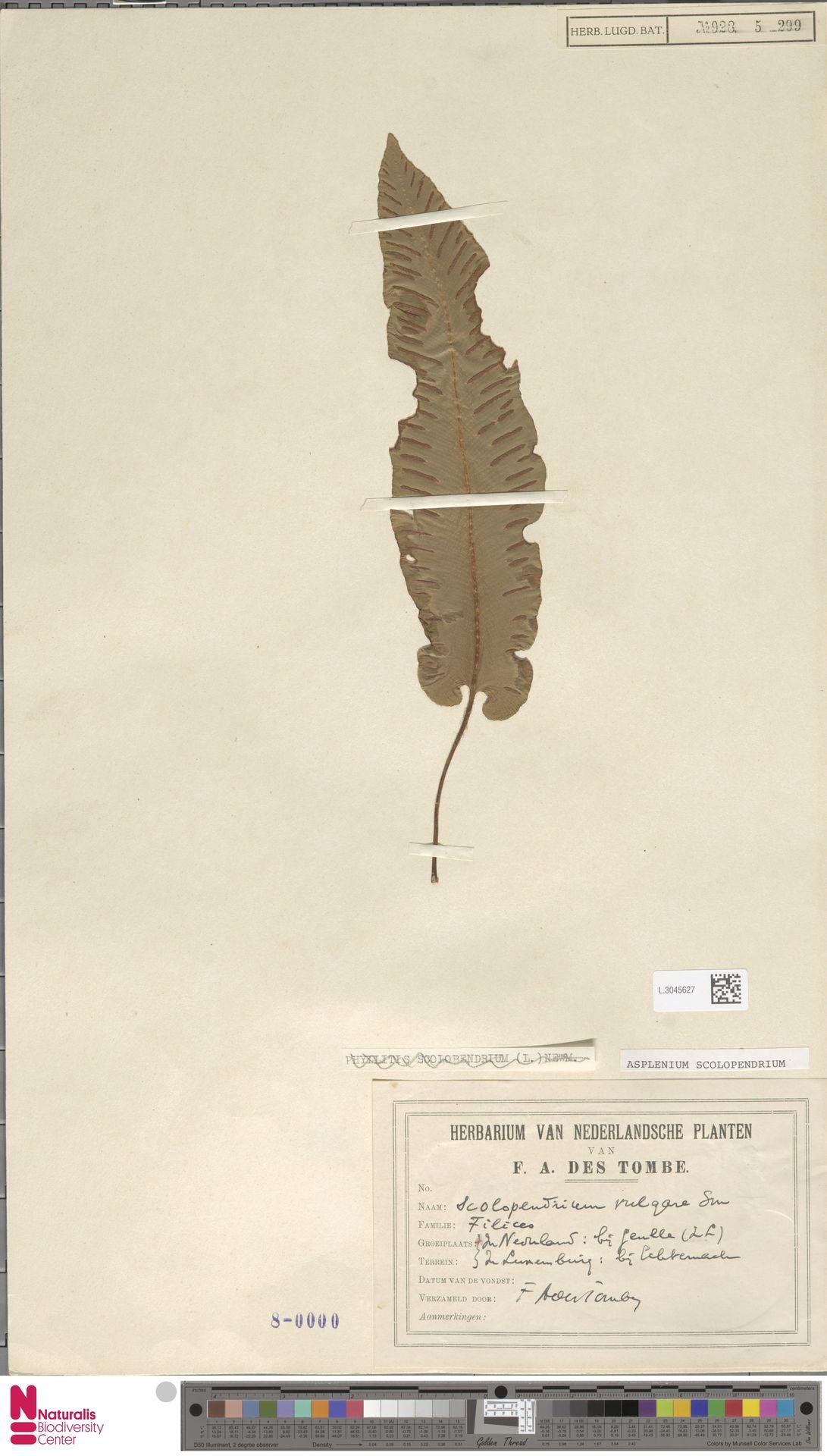 L.3045627 | Asplenium scolopendrium L.