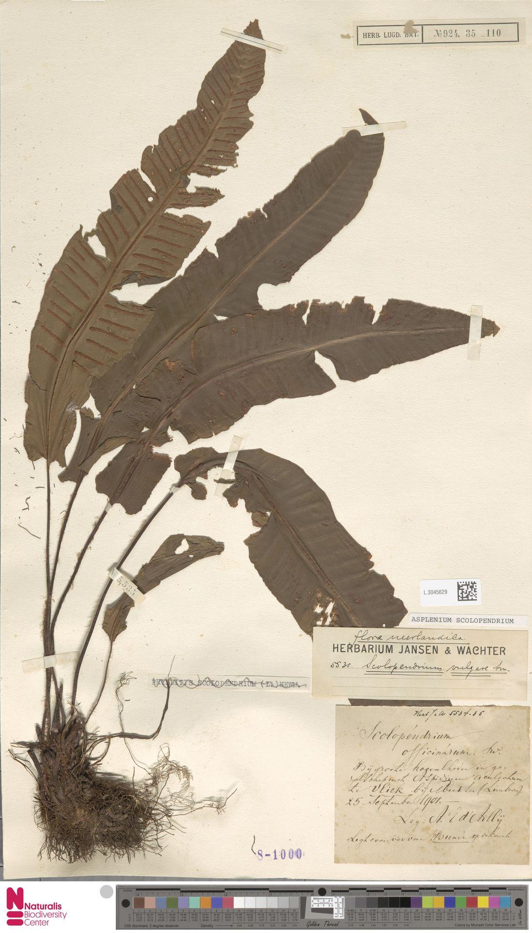 L.3045629 | Asplenium scolopendrium L.