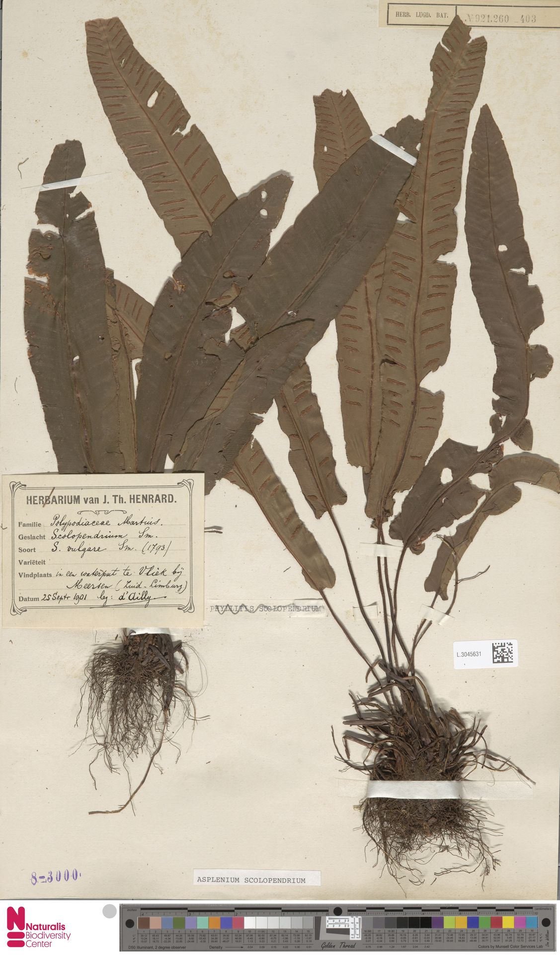 L.3045631 | Asplenium scolopendrium L.