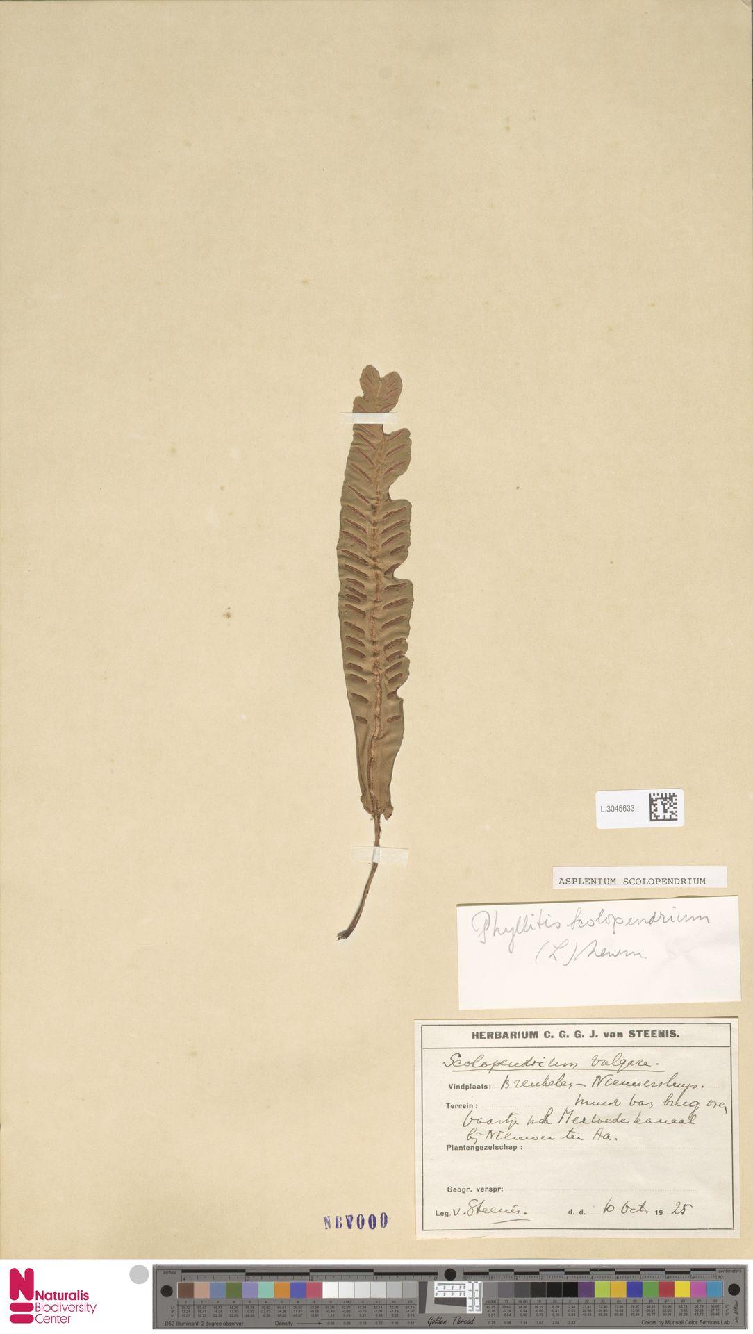 L.3045633 | Asplenium scolopendrium L.