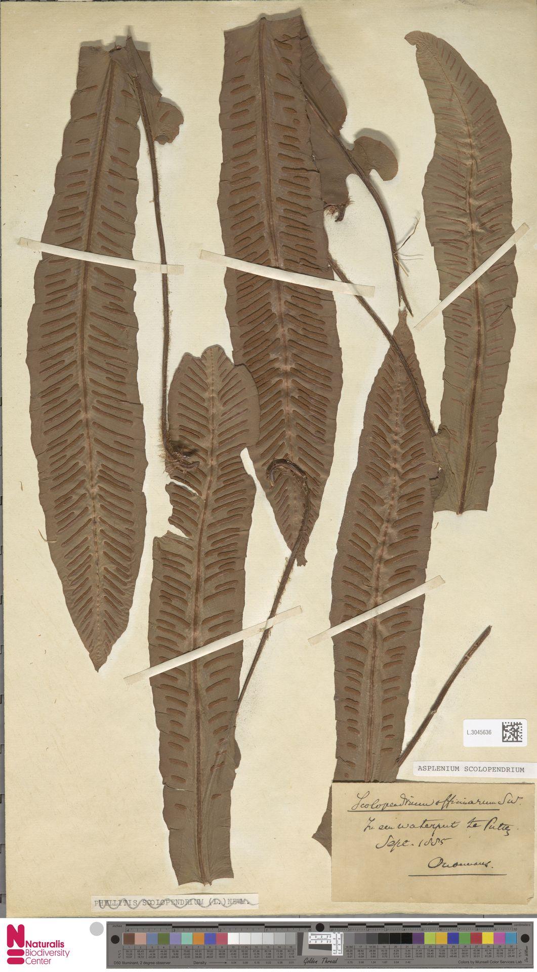 L.3045636 | Asplenium scolopendrium L.