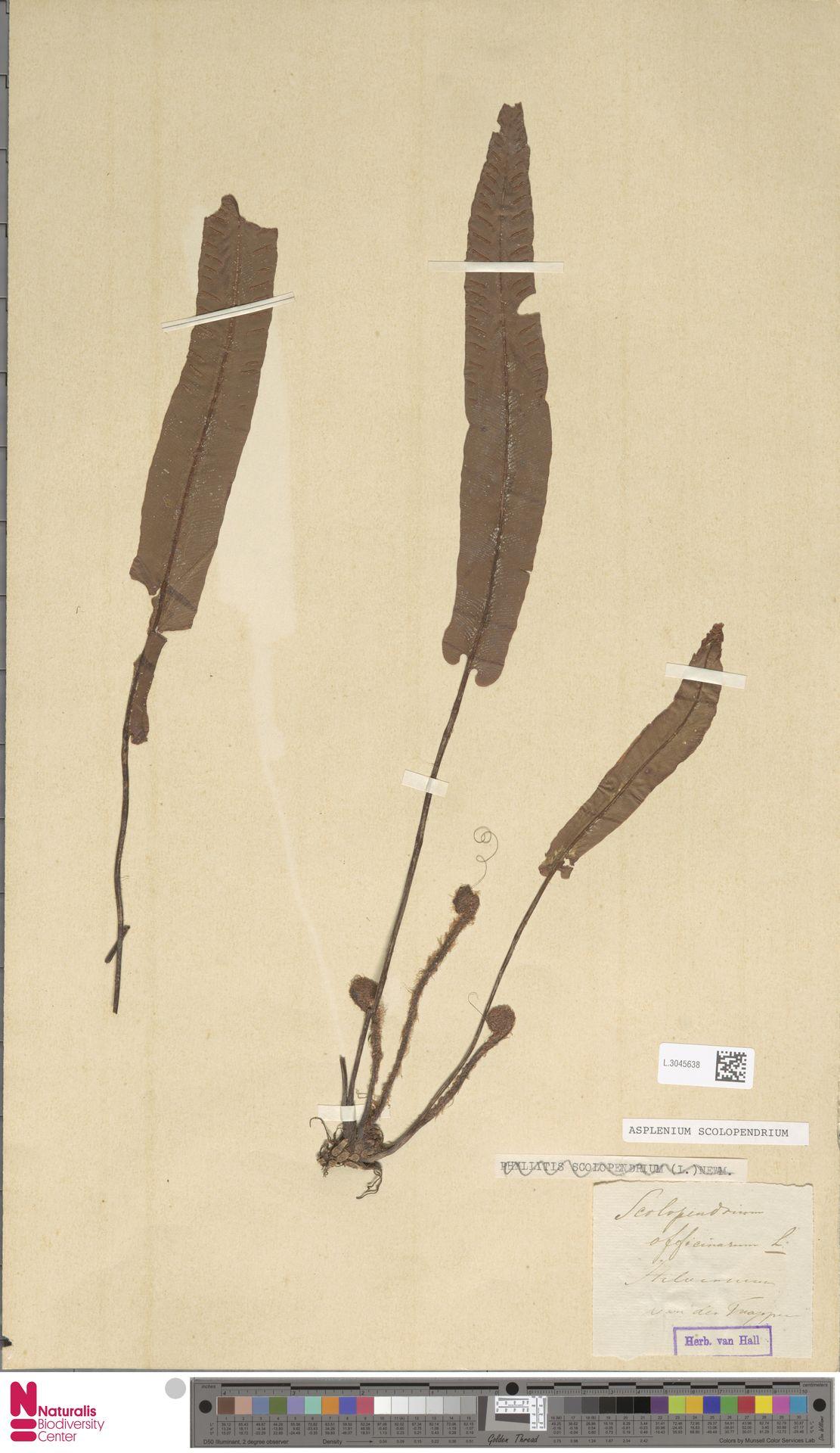 L.3045638 | Asplenium scolopendrium L.