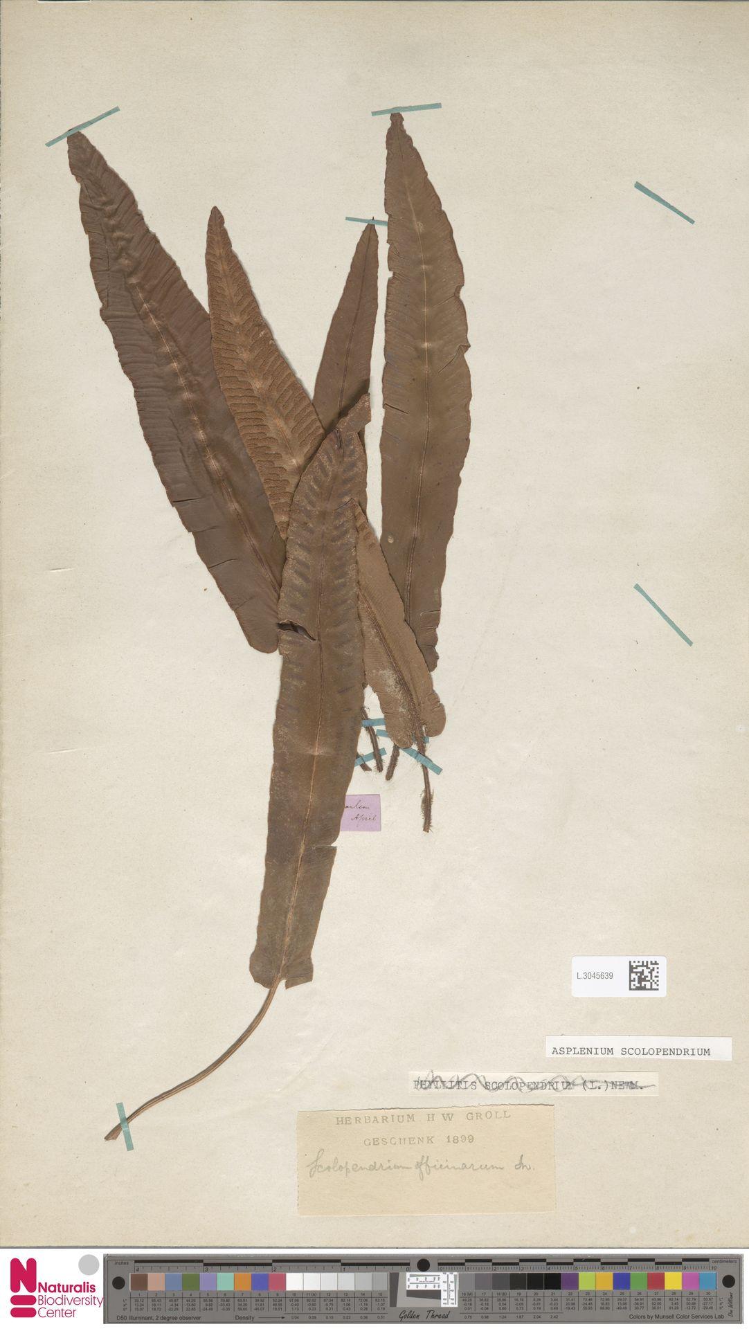 L.3045639 | Asplenium scolopendrium L.
