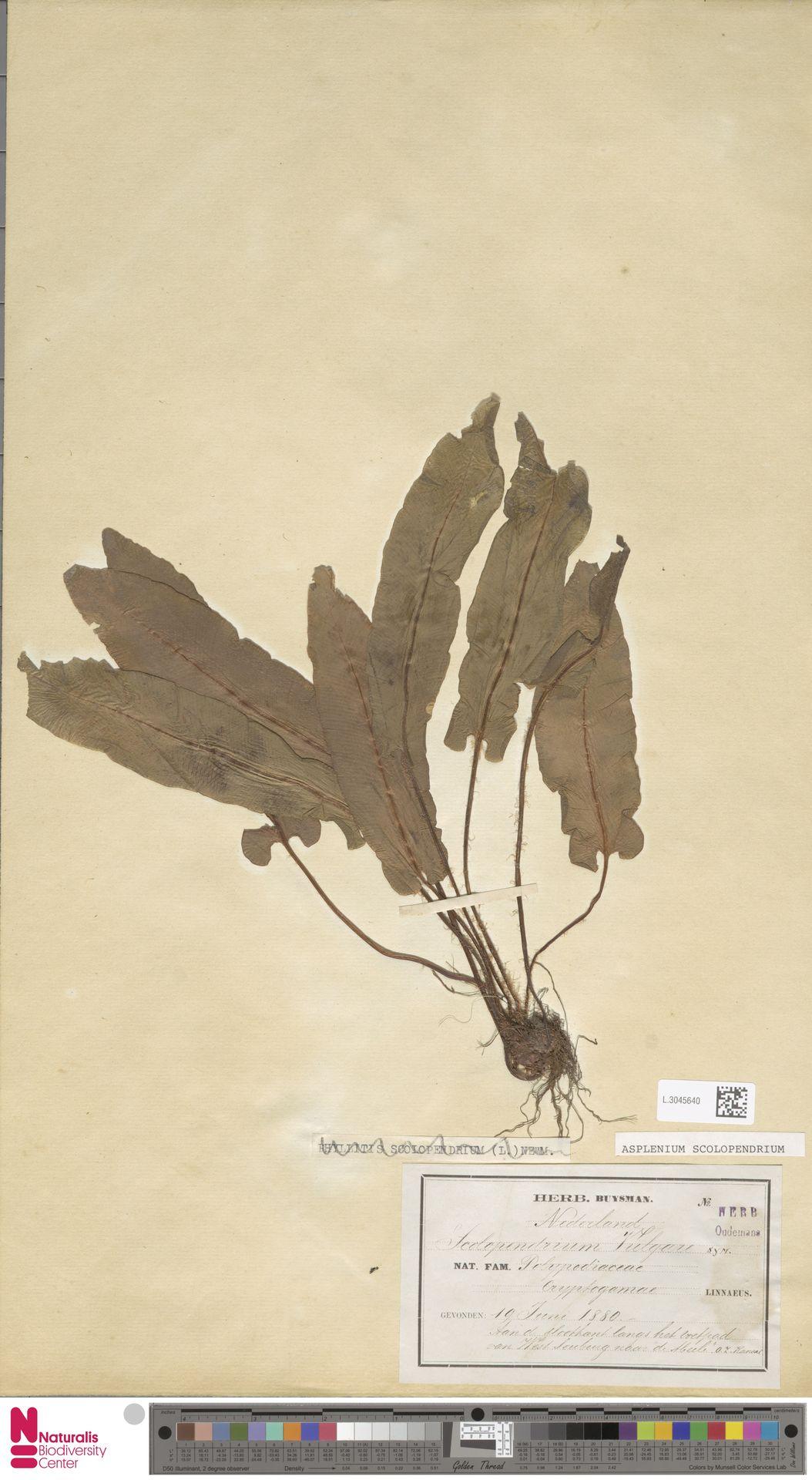 L.3045640 | Asplenium scolopendrium L.