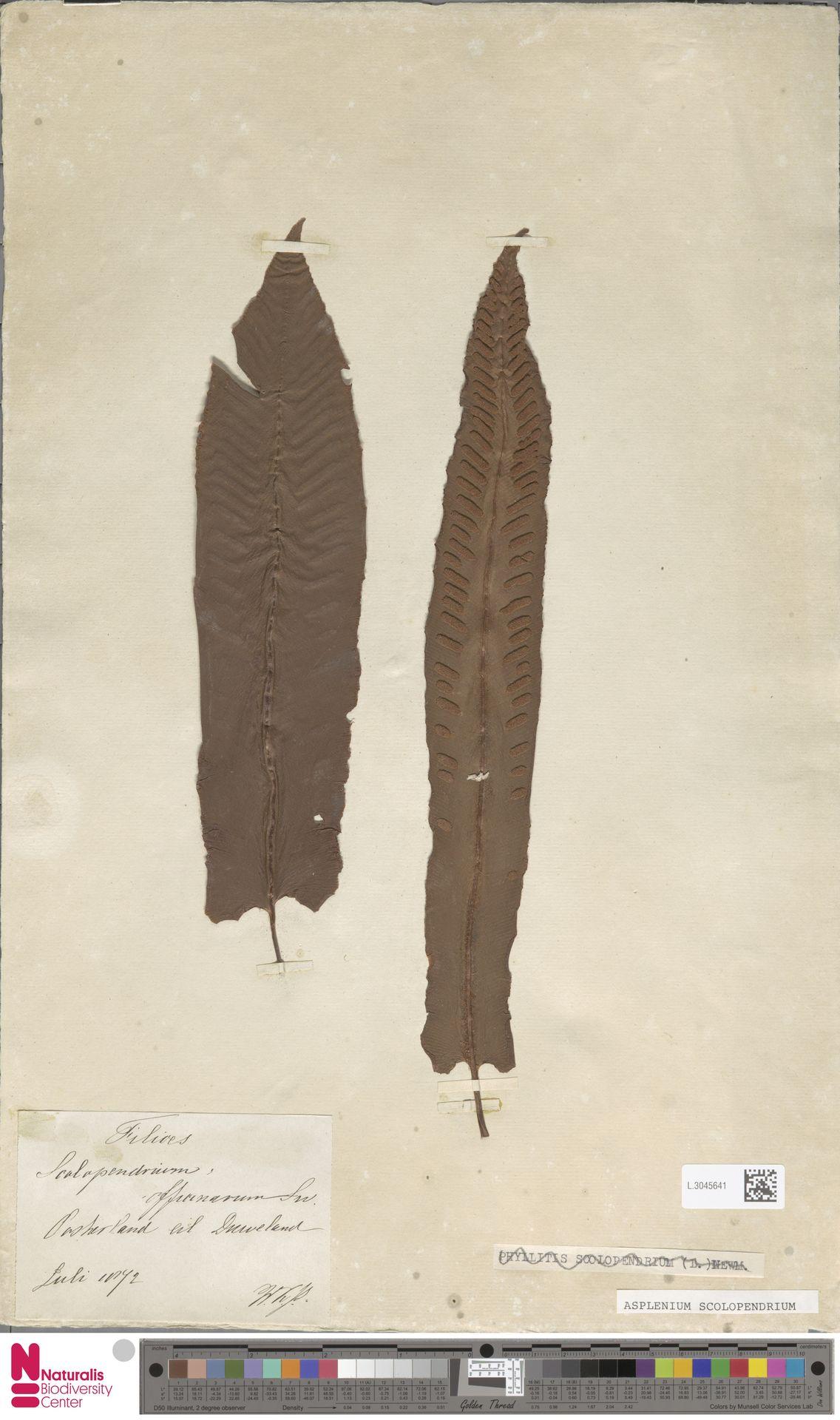 L.3045641 | Asplenium scolopendrium L.