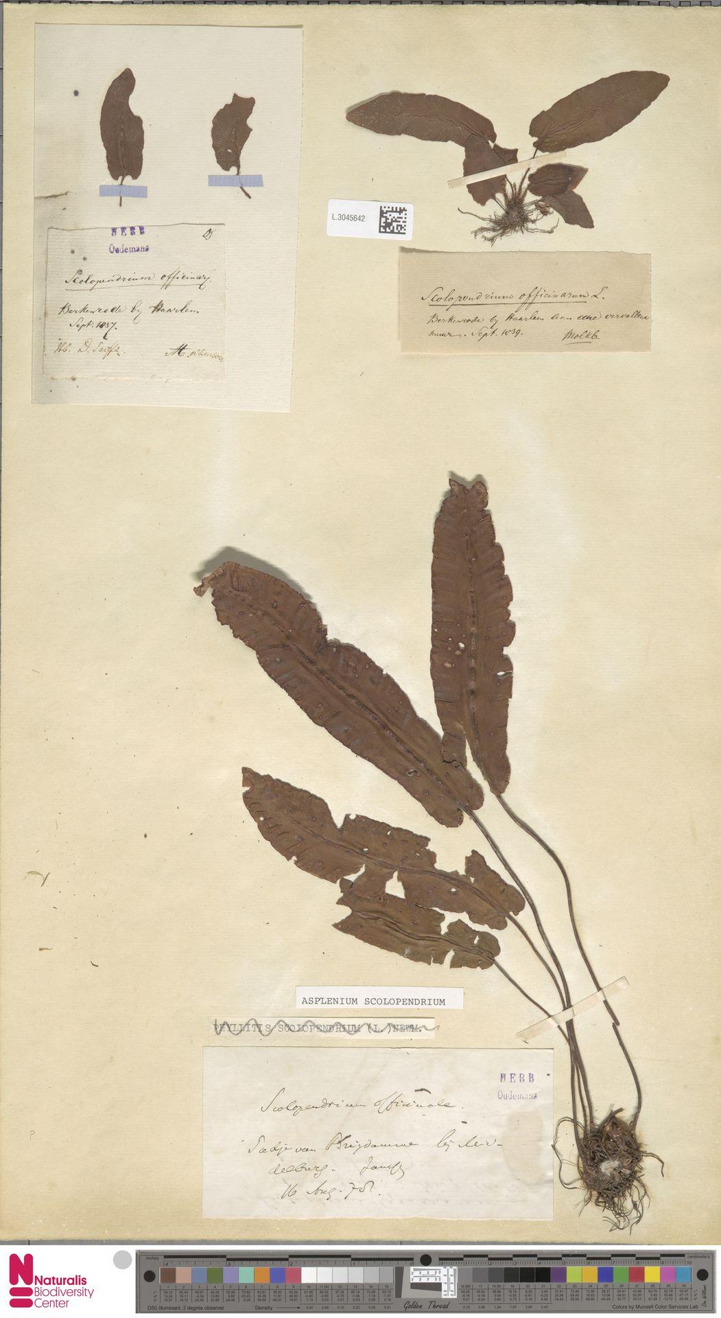 L.3045642   Asplenium scolopendrium L.