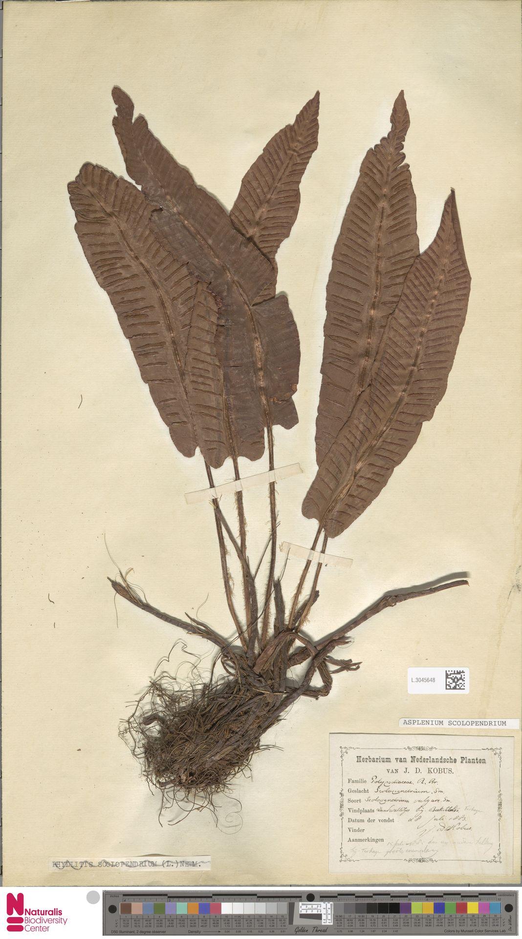 L.3045648 | Asplenium scolopendrium L.