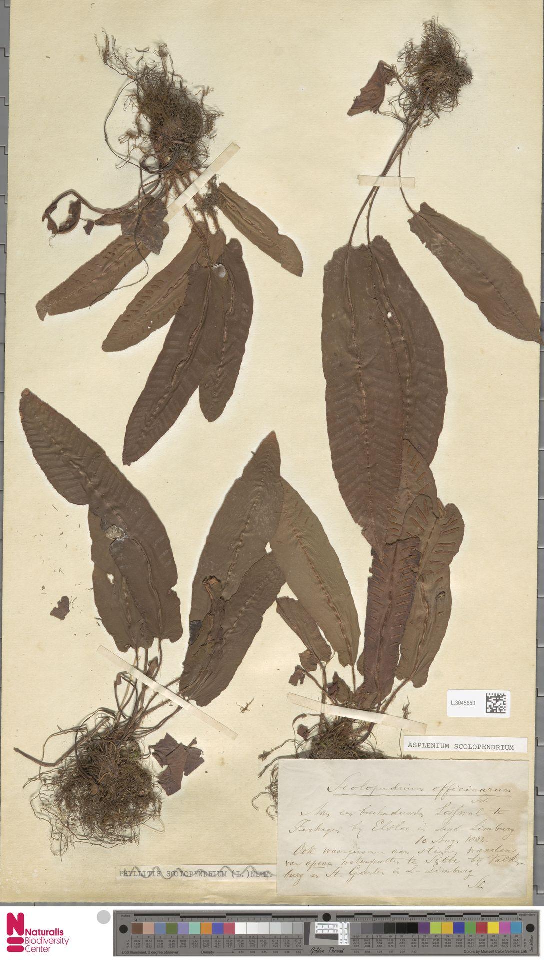 L.3045650 | Asplenium scolopendrium L.