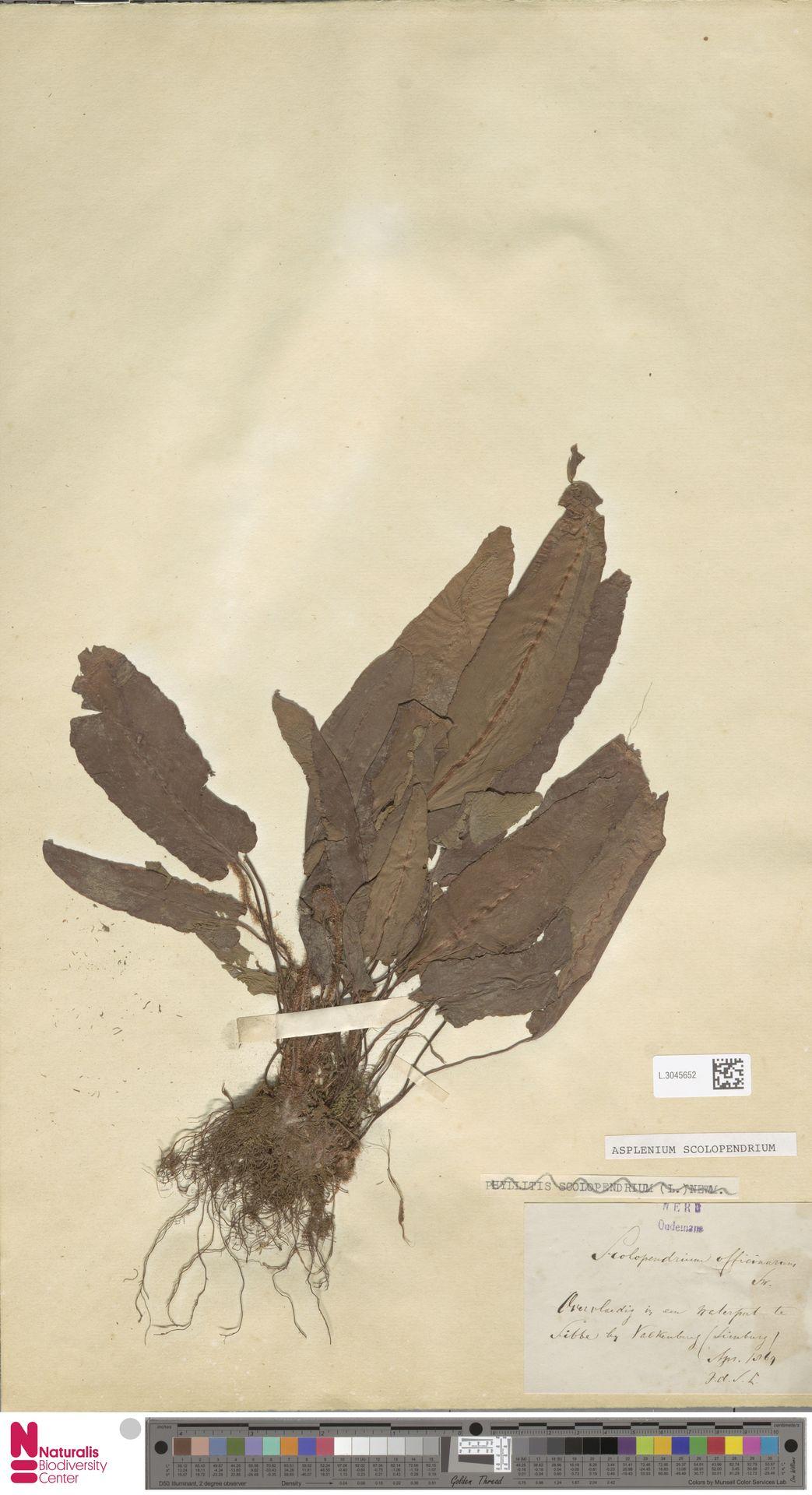 L.3045652 | Asplenium scolopendrium L.
