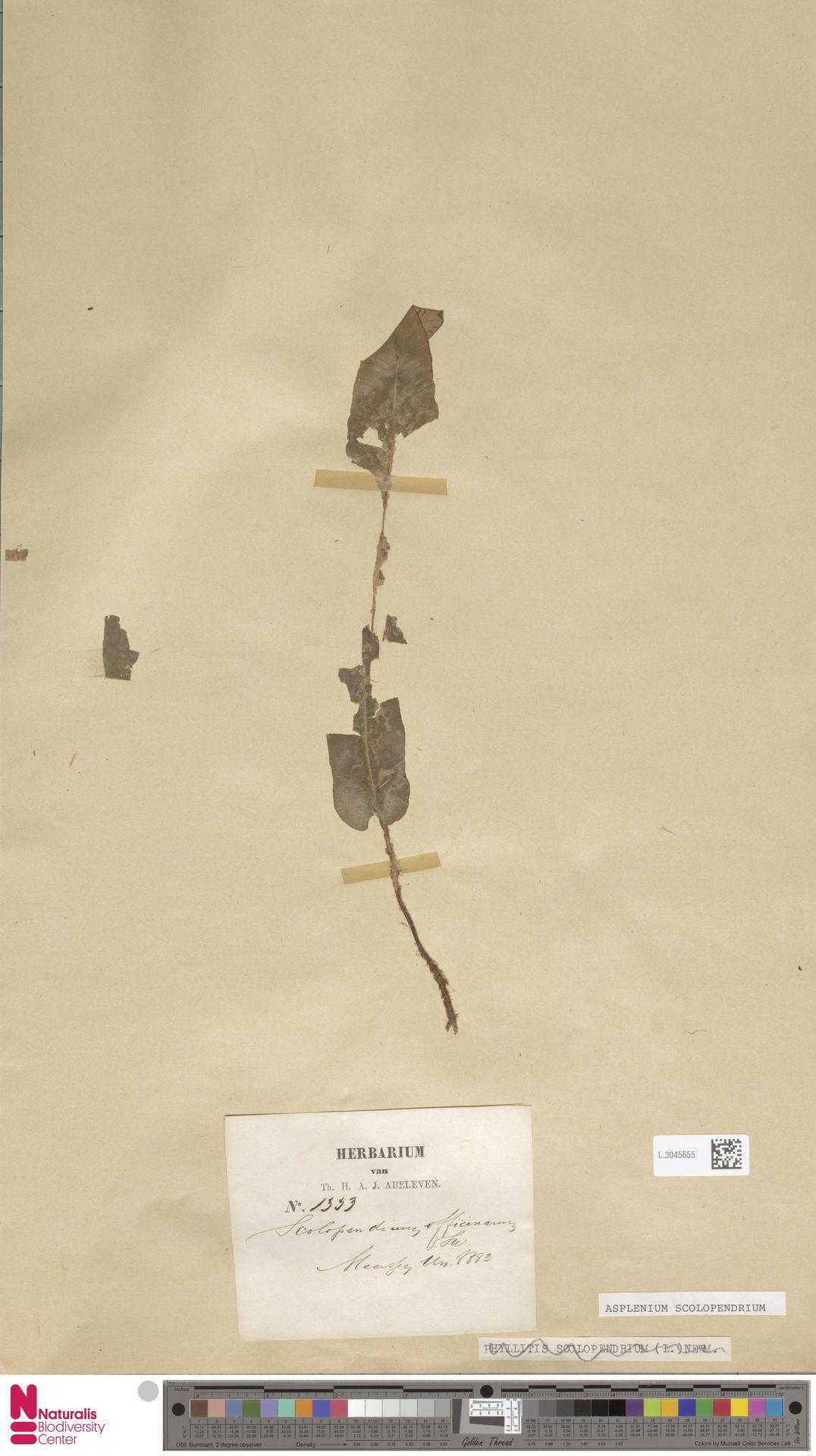 L.3045655 | Asplenium scolopendrium L.