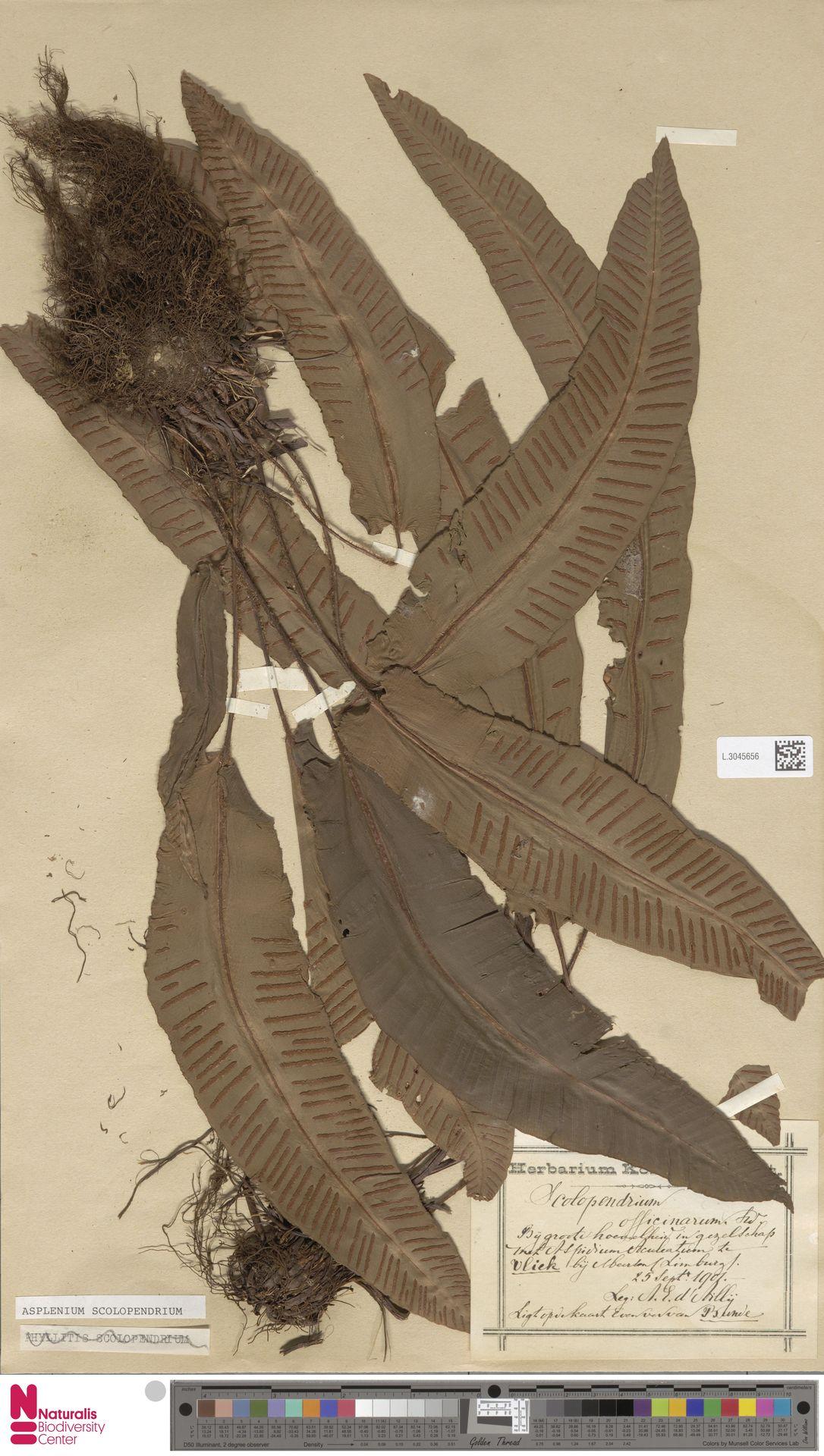 L.3045656 | Asplenium scolopendrium L.