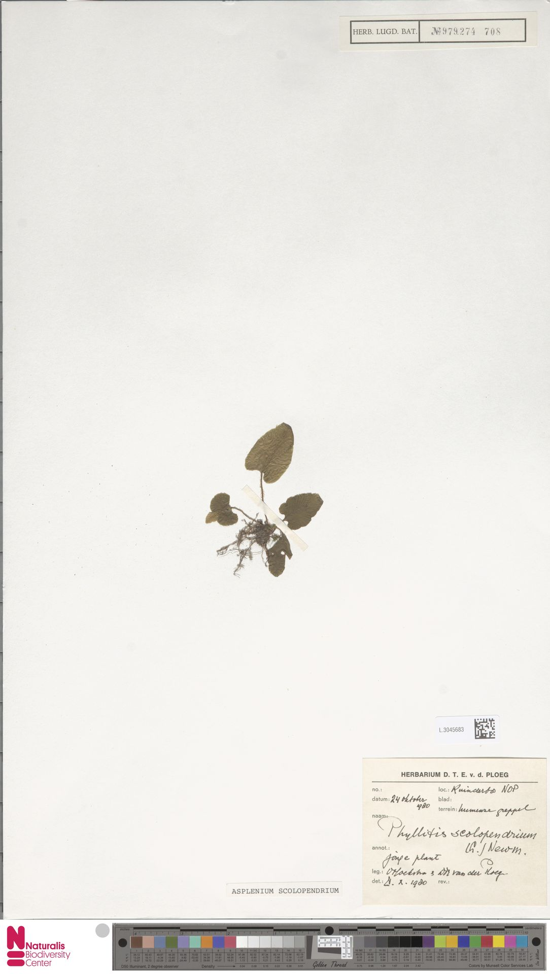 L.3045683   Asplenium scolopendrium L.