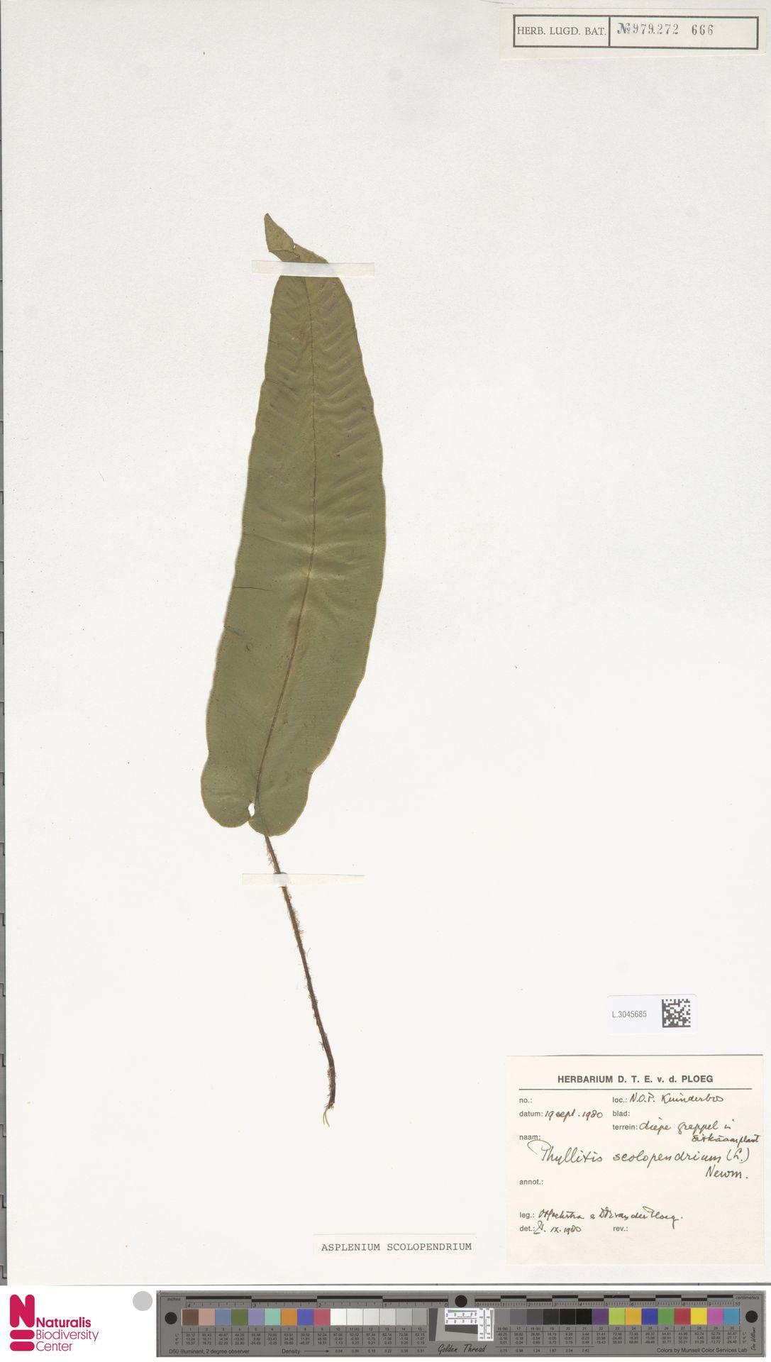 L.3045685   Asplenium scolopendrium L.