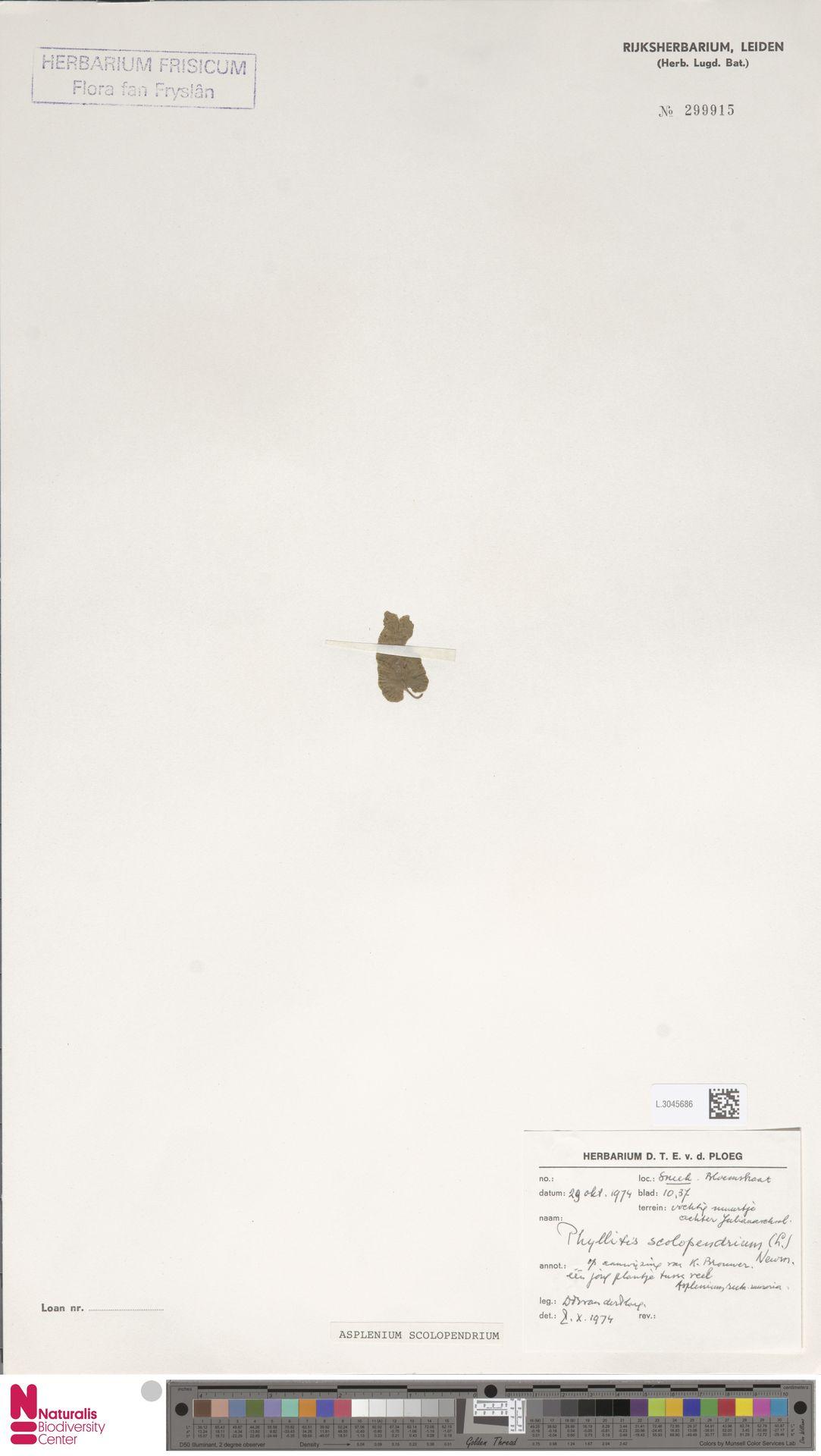 L.3045686 | Asplenium scolopendrium L.