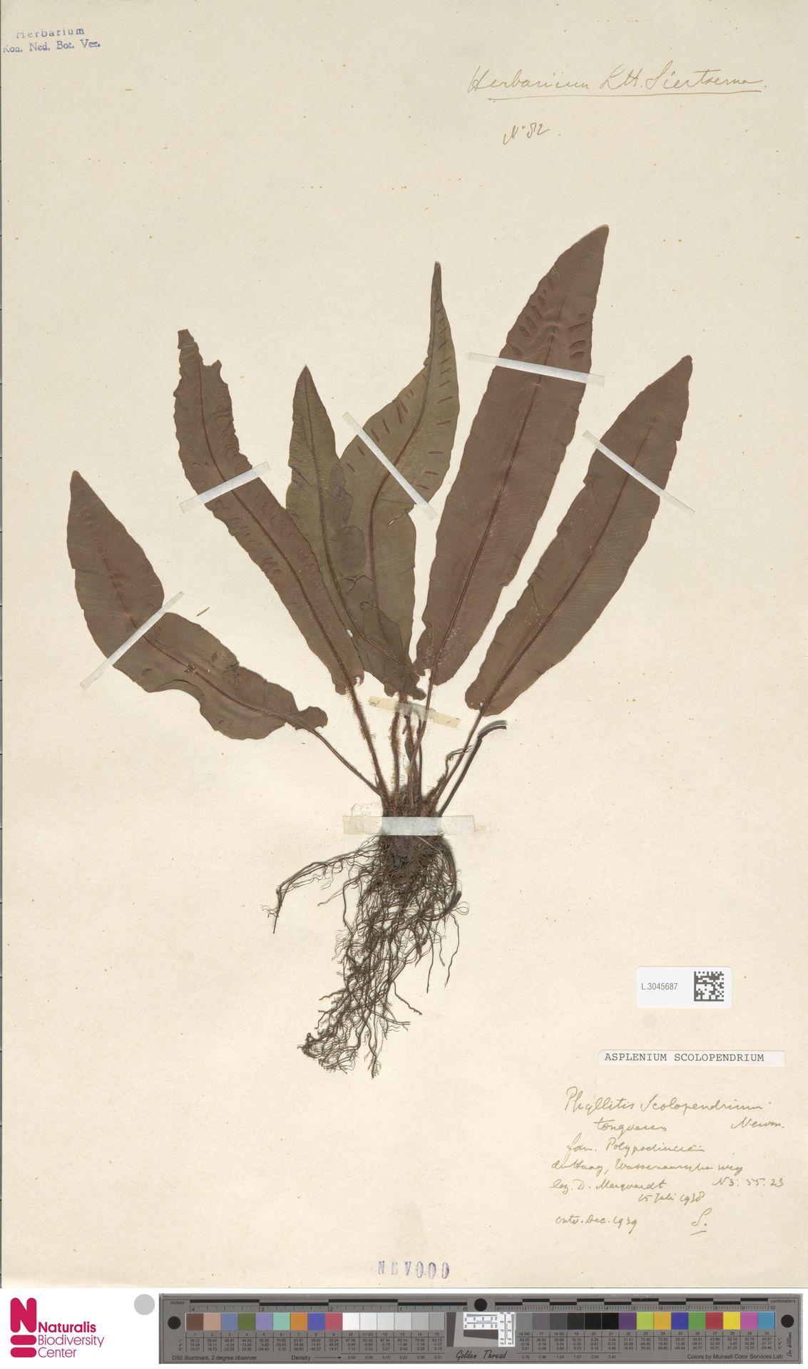 L.3045687 | Asplenium scolopendrium L.